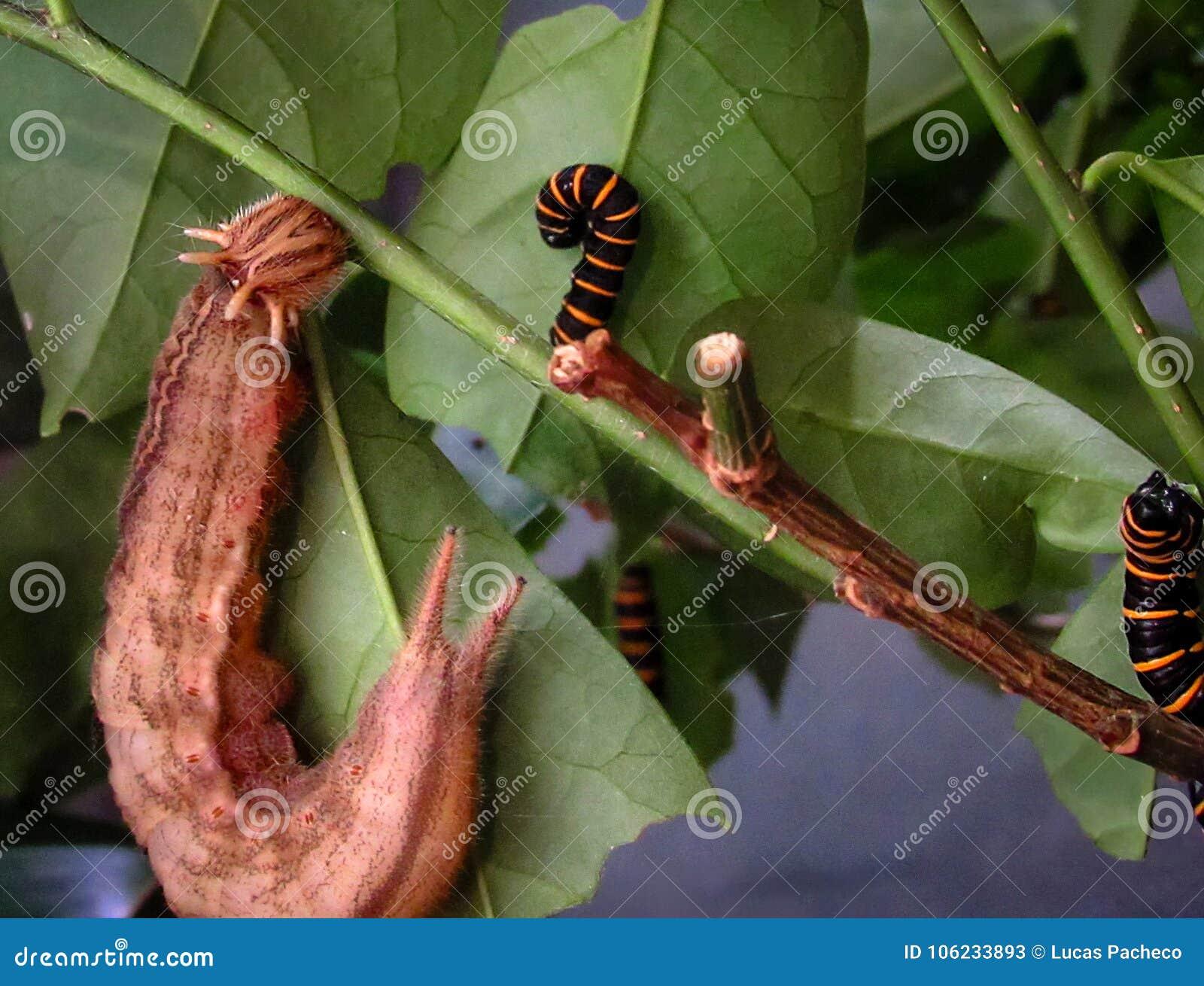 Owl Butterfly Caligo memnon and Themisto Amberwing Methona th