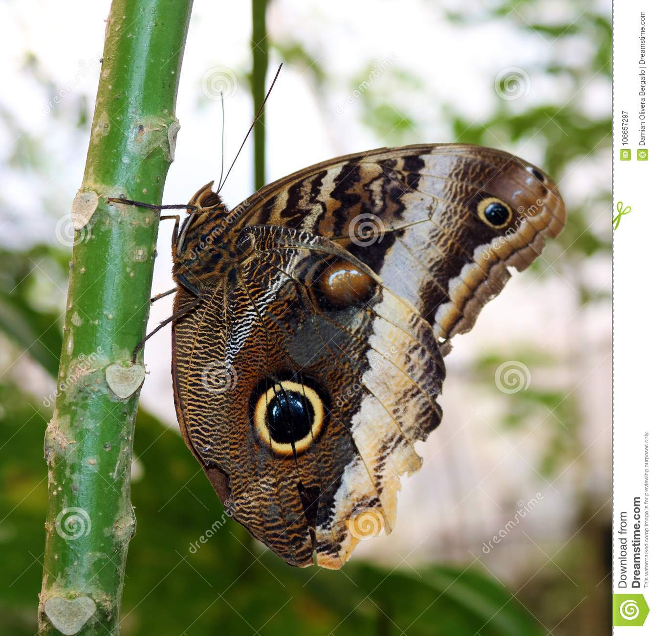 The Owl Butterfly in Costa Rica mariposa naranja
