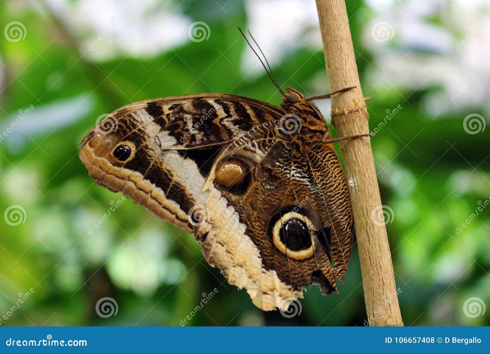 The Owl Butterfly in Costa Rica mariposa naranja