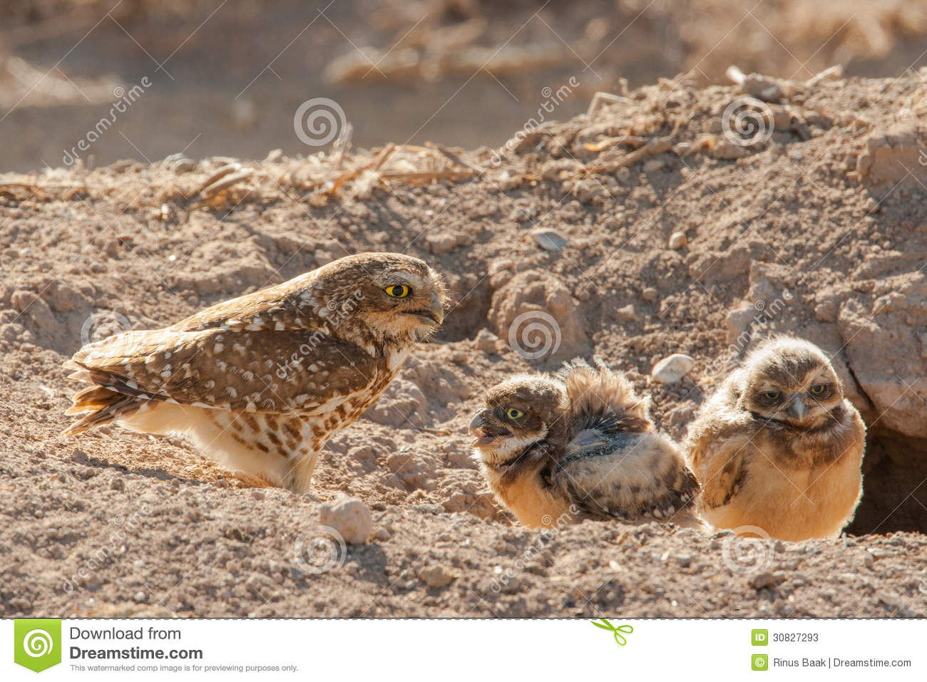 Owl Chicks With Adult