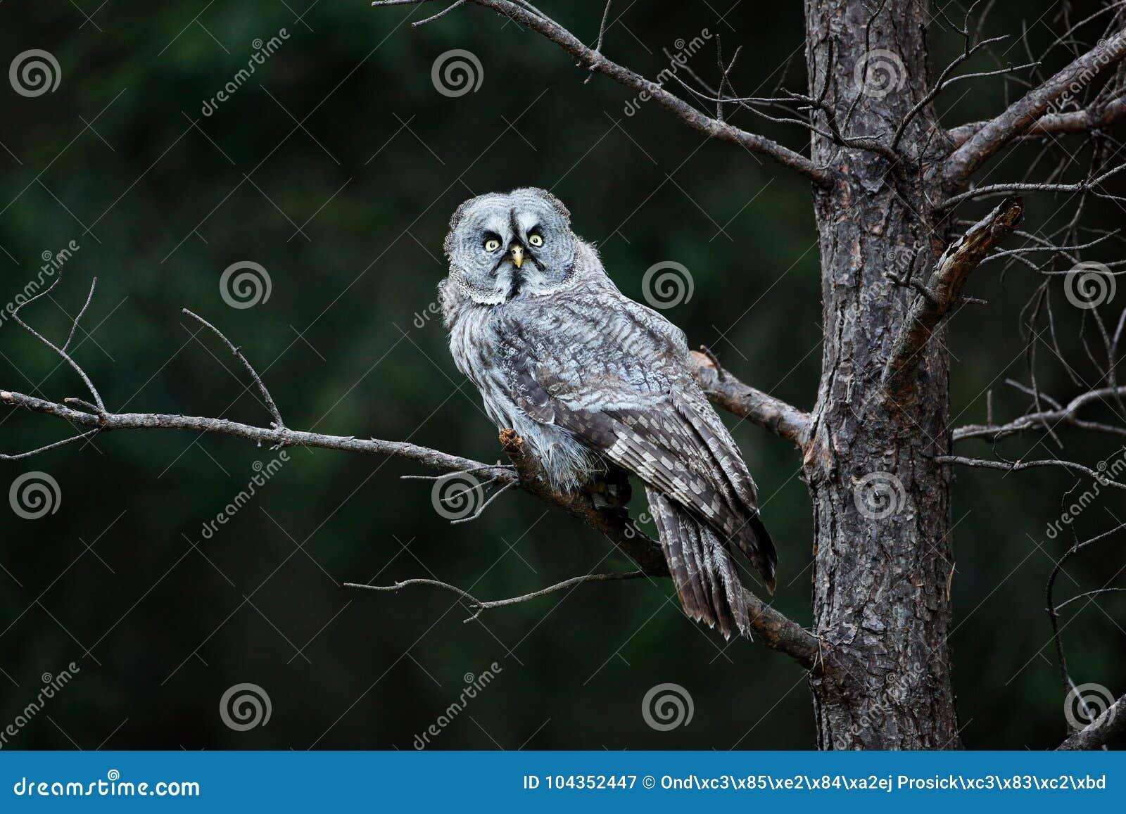 Owl in dark forest, Sweden. Great grey owl, Strix nebulosa, sitting on broken down tree stump with green forest in background. Wil