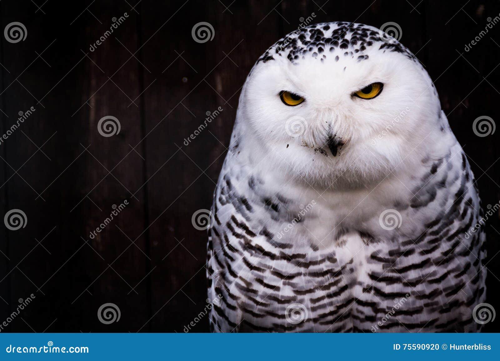 Owl Eyes Yellow Stare Beak repéré par noir blanc