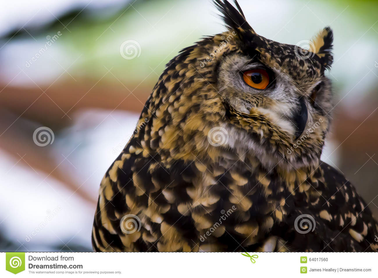 Spotted Eagle Owl face Close up