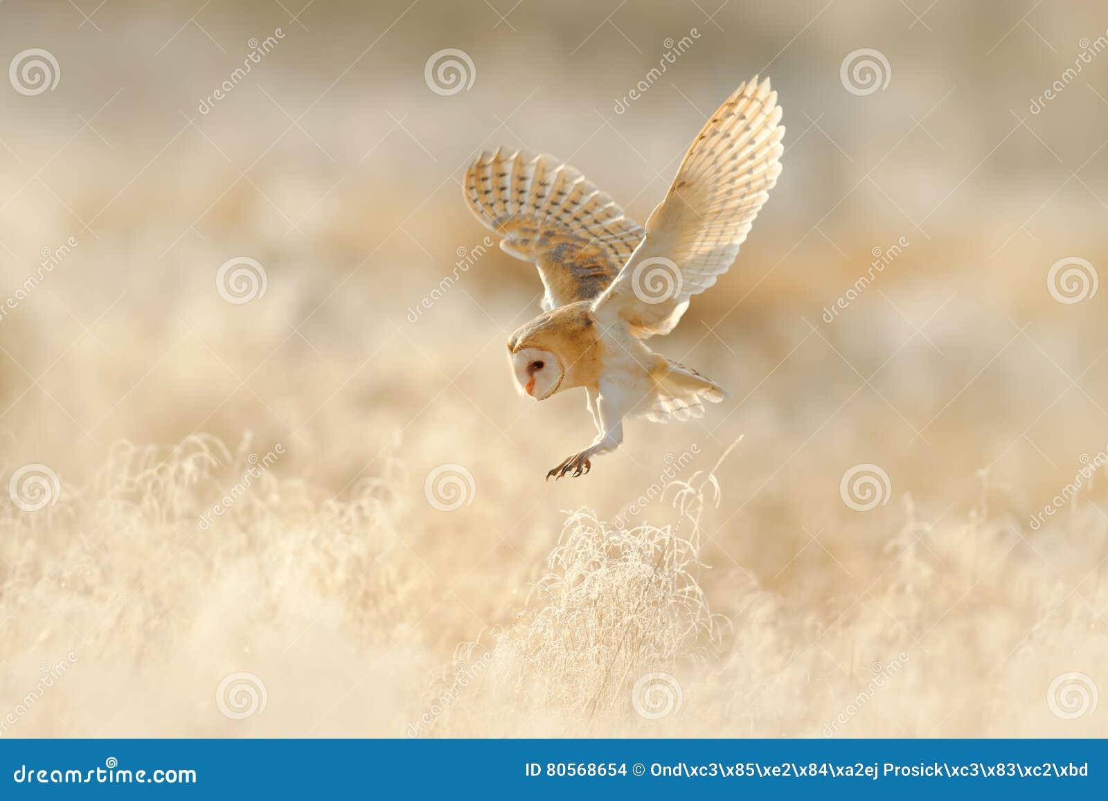 Owl flight. Hunting Barn Owl, wild bird in morning nice light. Beautiful animal in the nature habitat. Owl landing in the grass.