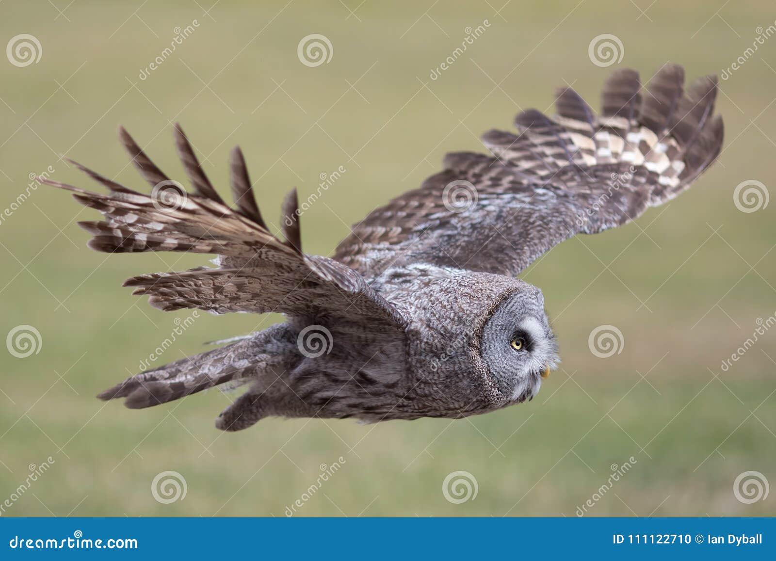 Owl flying. Great grey owl in level flight. Beautiful bird of pr