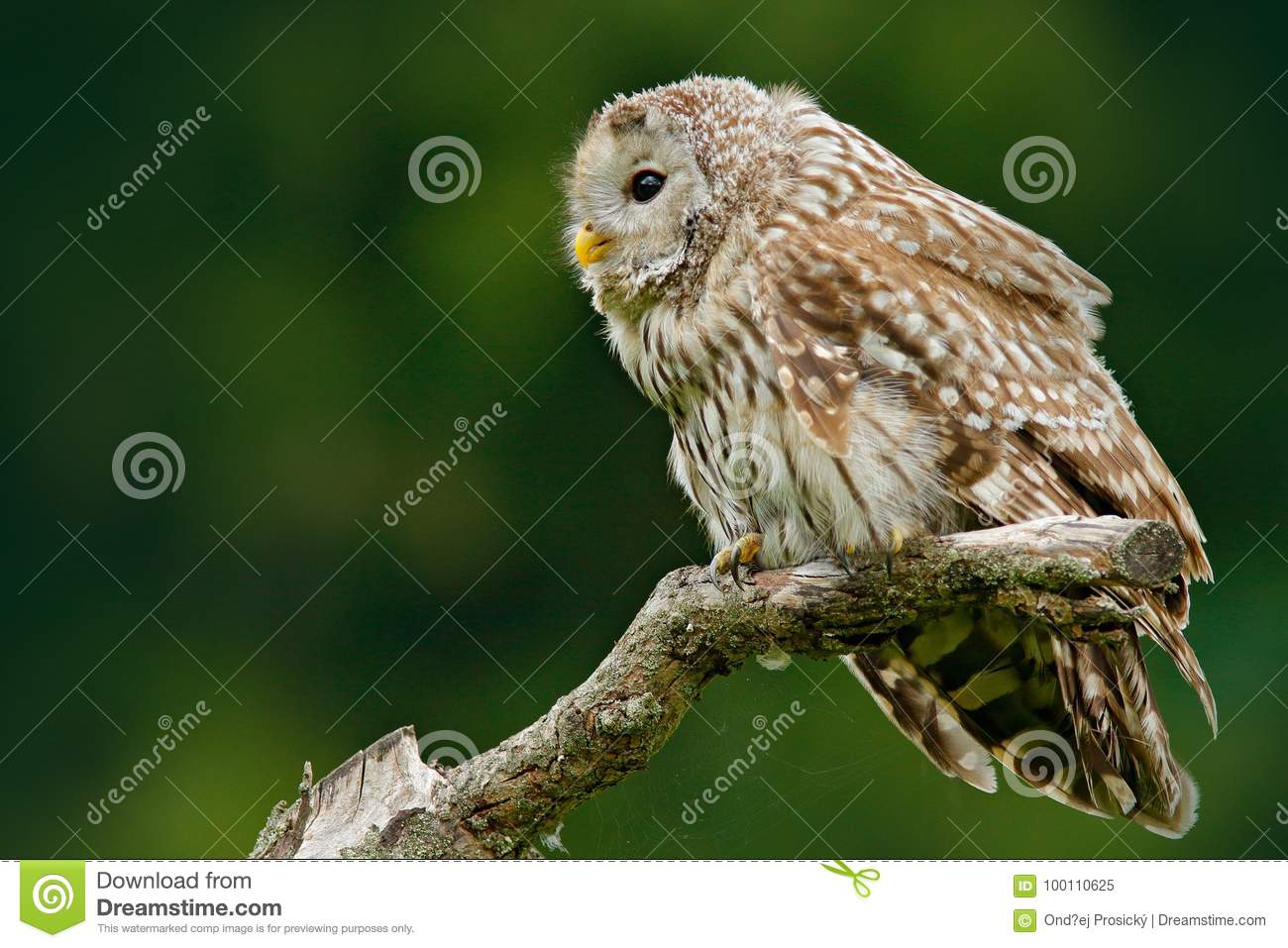 Owl in nature. Ural Owl, Strix uralensis, sitting on tree branch, at green leaves oak forest, Norway. Wildlife scene from nature.