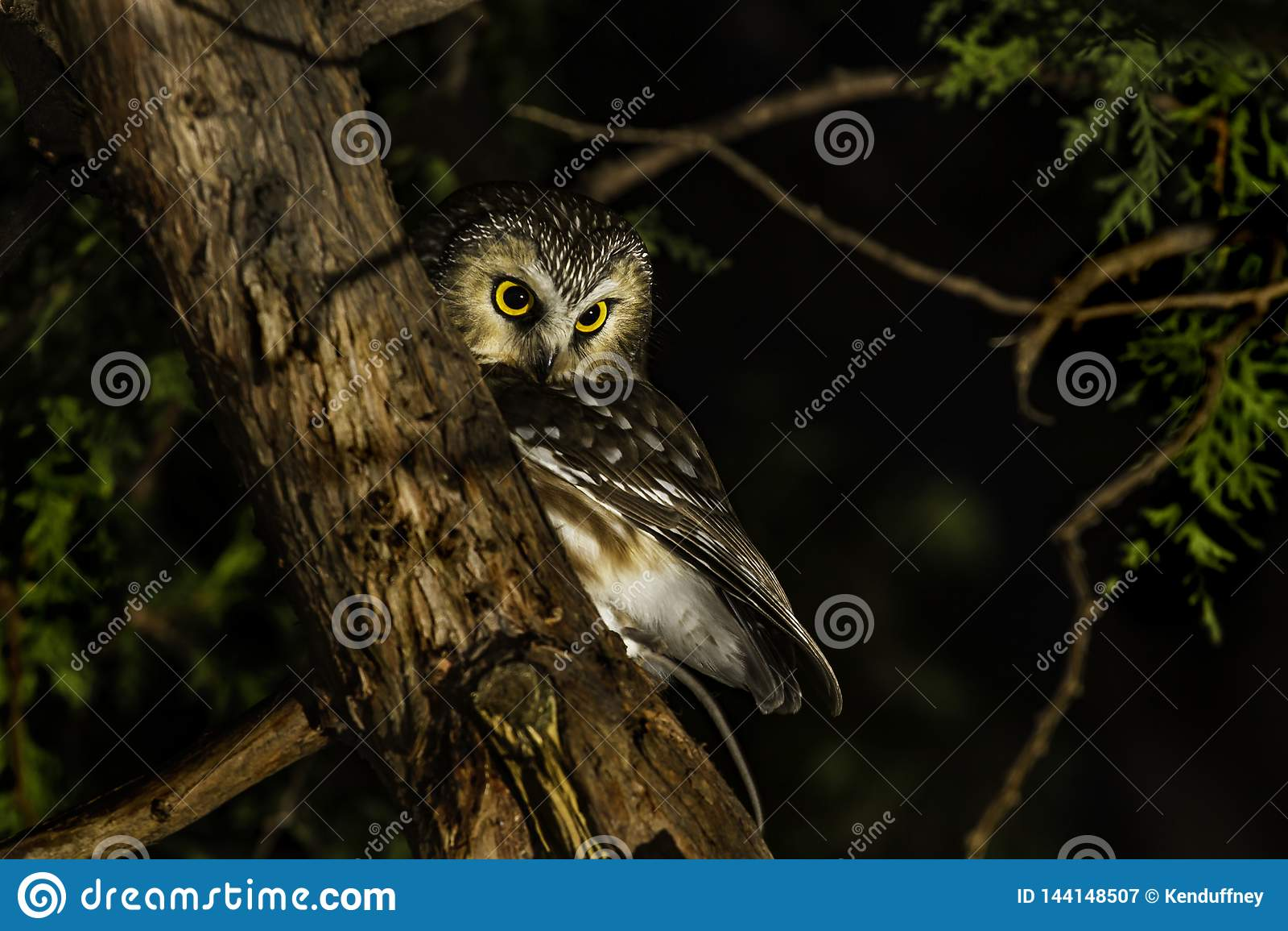 Owl Perched boréal dans un arbre