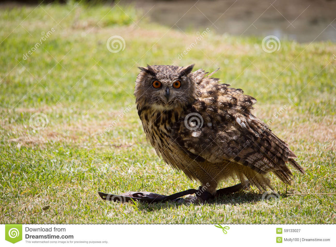 Owl is sitting on the ground, and hunting