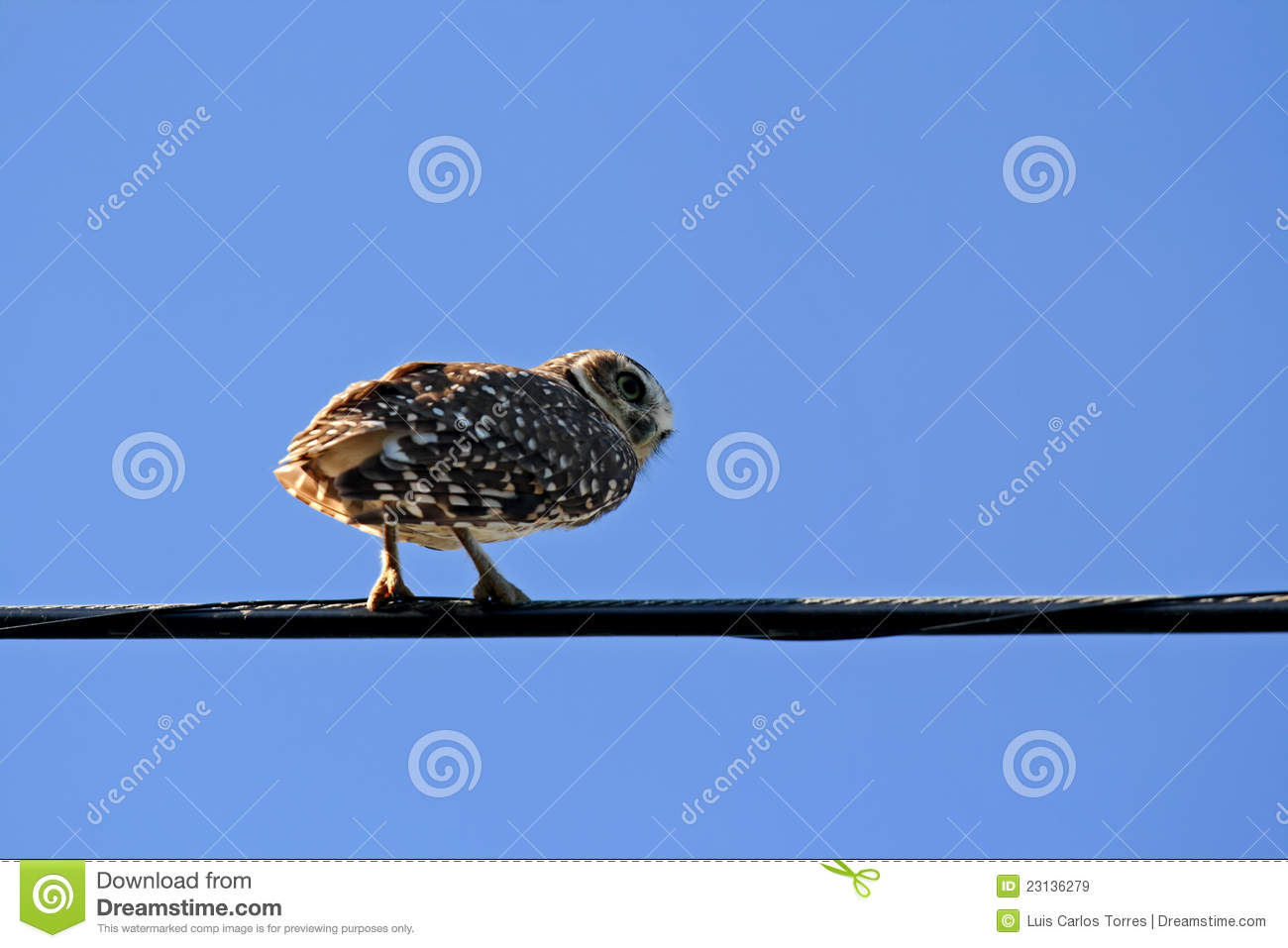 Owl on wire