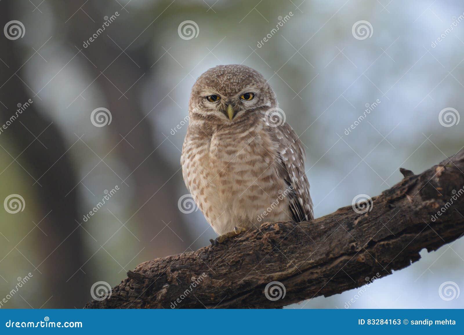 Owlet ζουγκλών