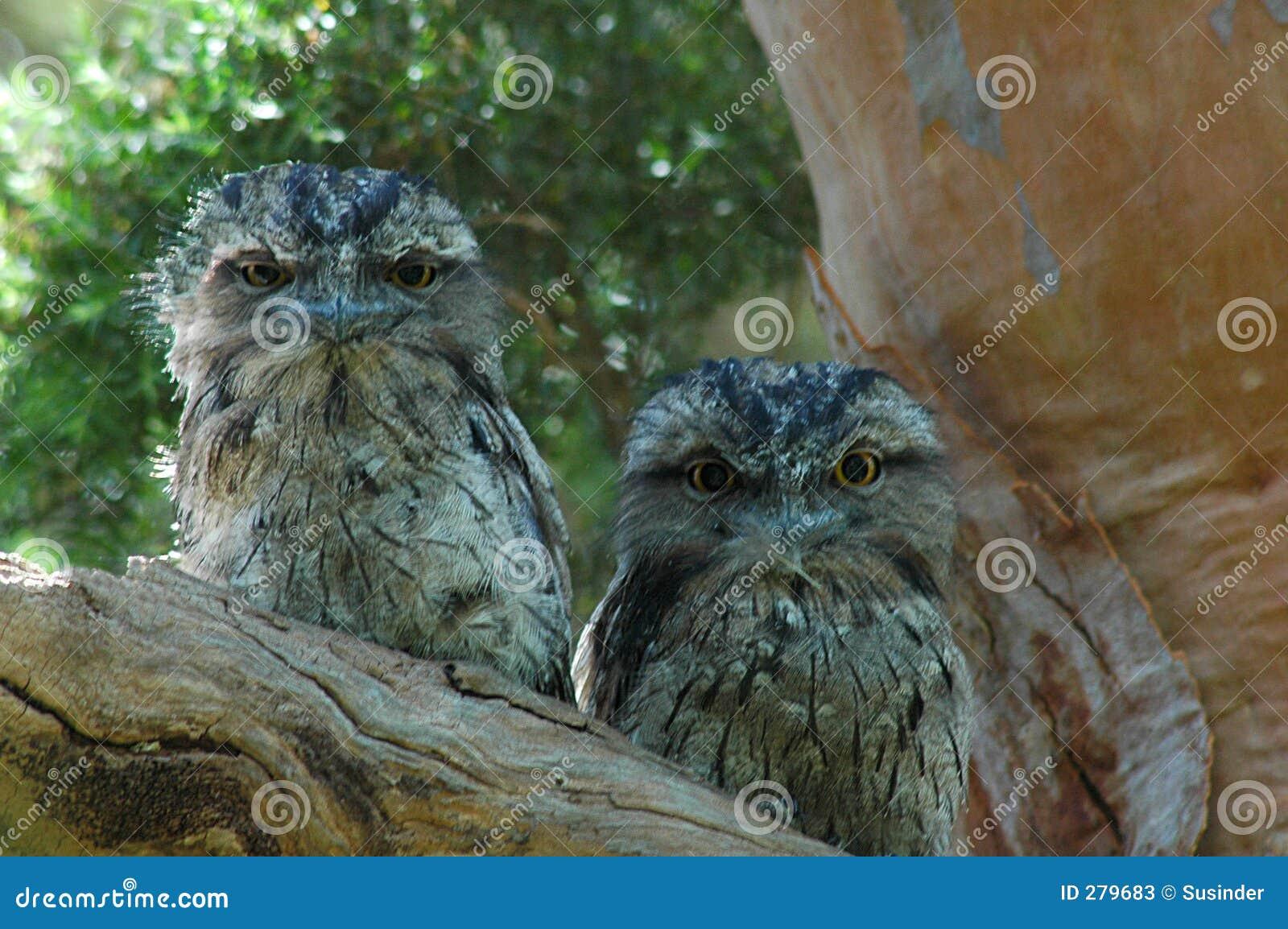 Owls två