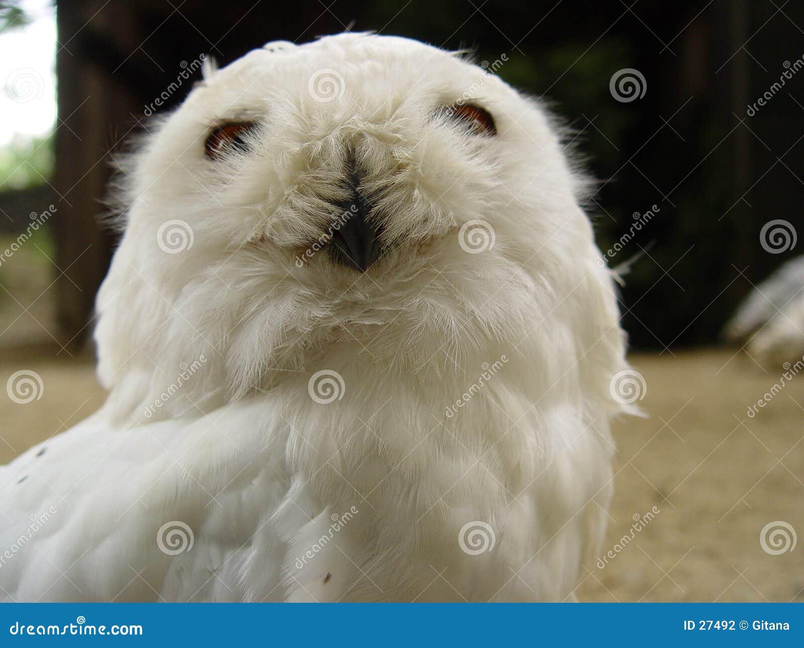 Owlsnow