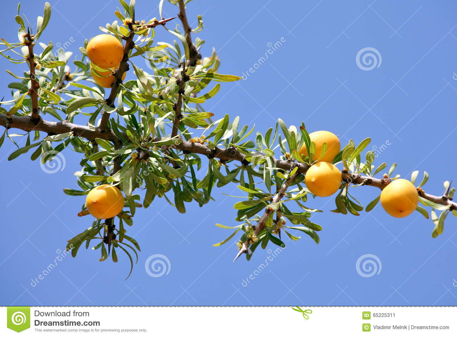 Owoc Argan drzewo