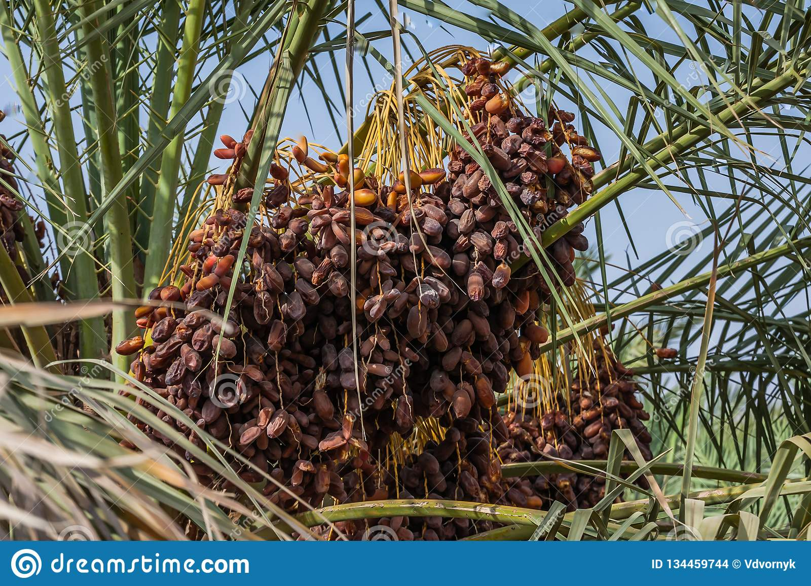 Owoc daktylowa palma