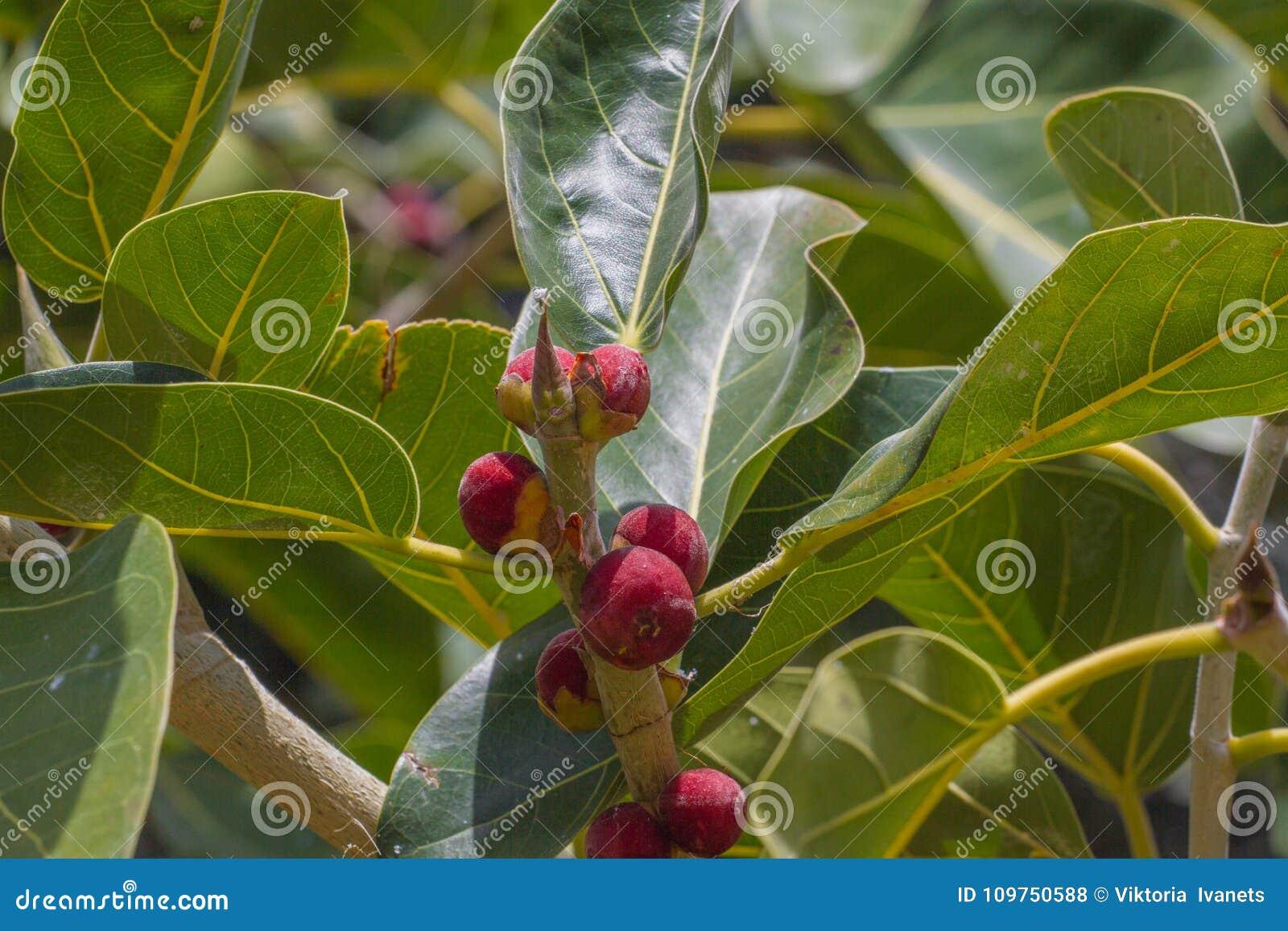 Owoc i liście na gałąź Ficus benjamina - powszechnie znać jako płacząca figa, beniamin figa lub Ficus drzewo,