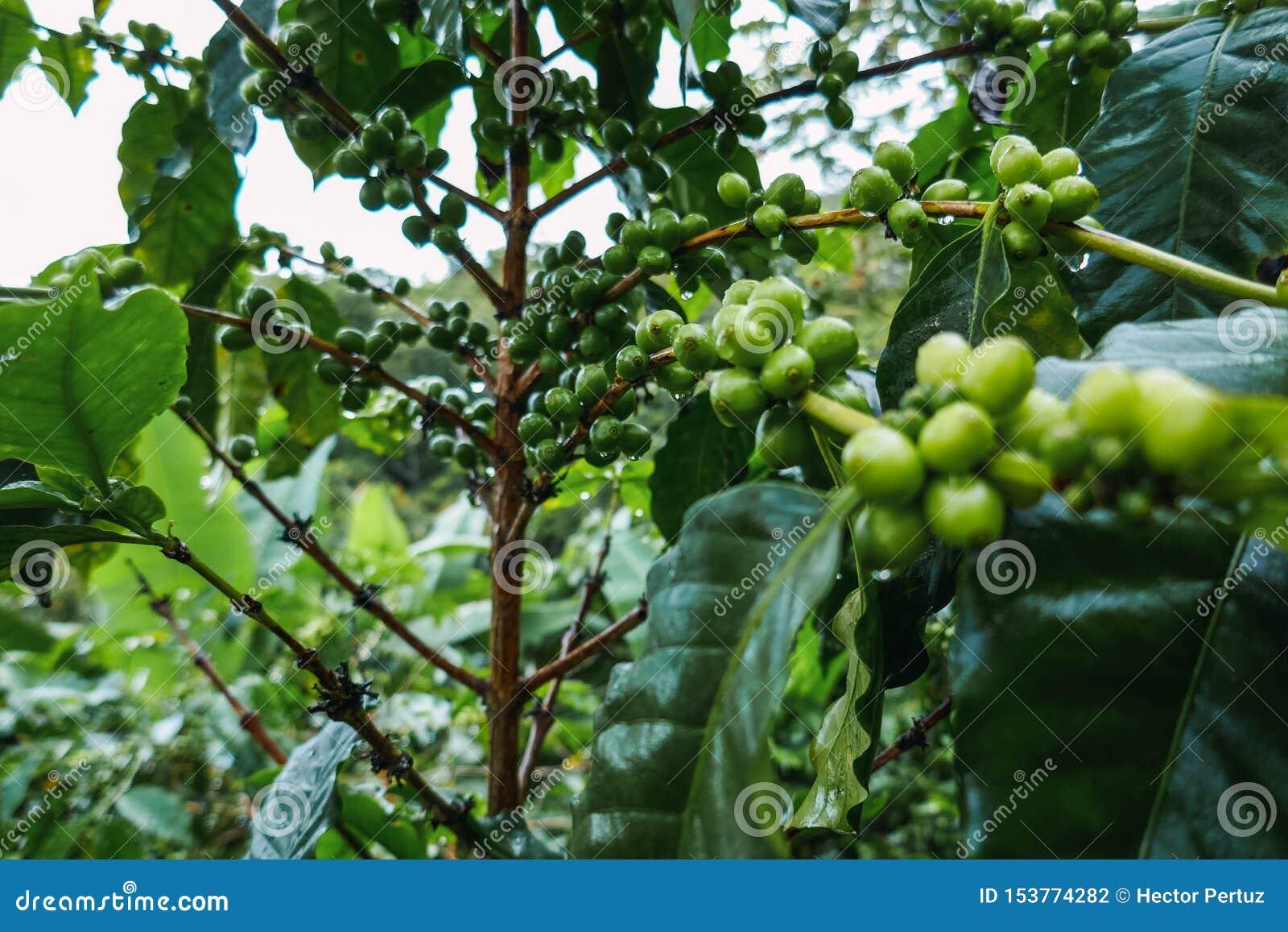 Owoc kawa w początkowym stanie