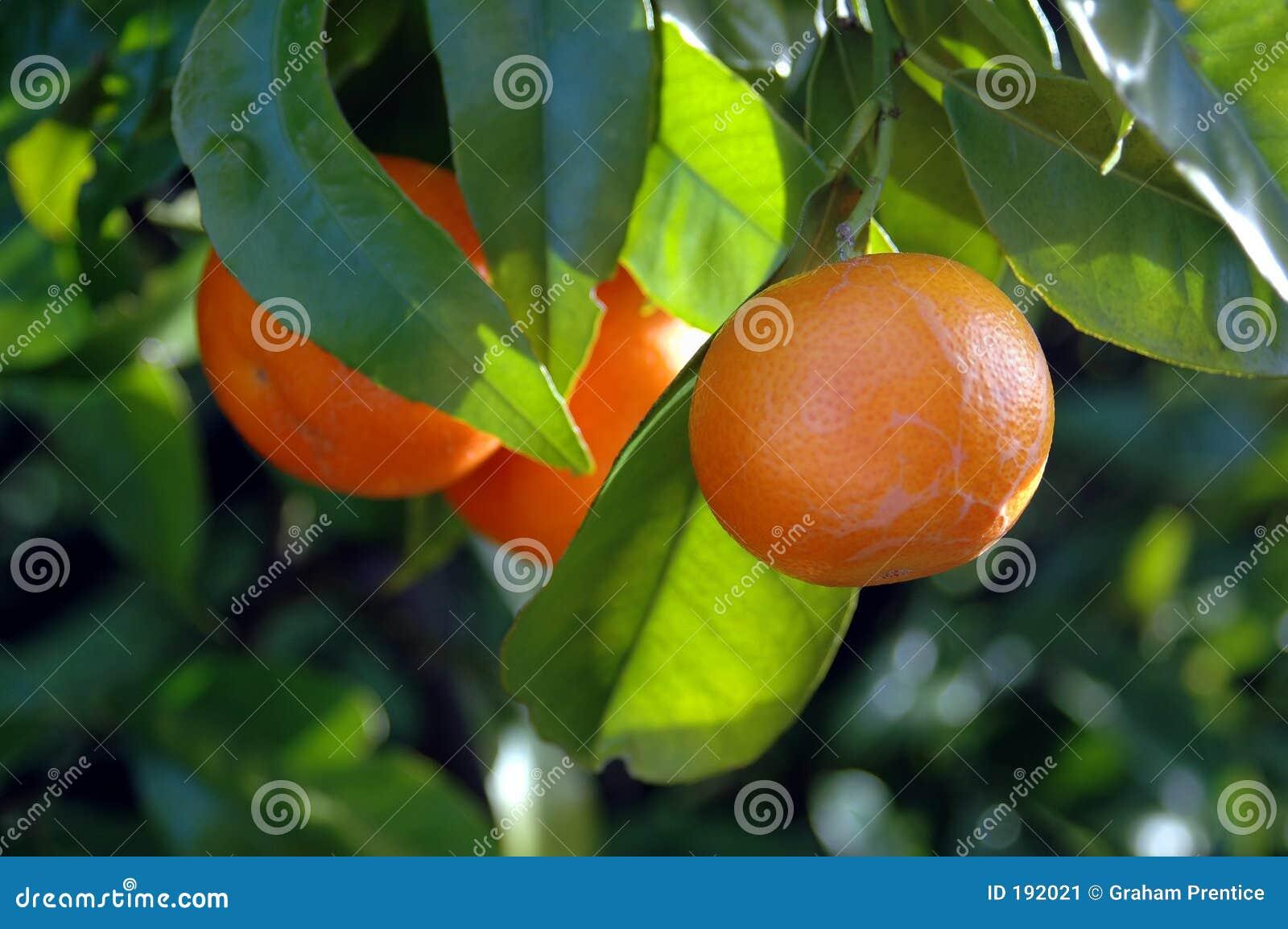 Owoce citrus drzewo.