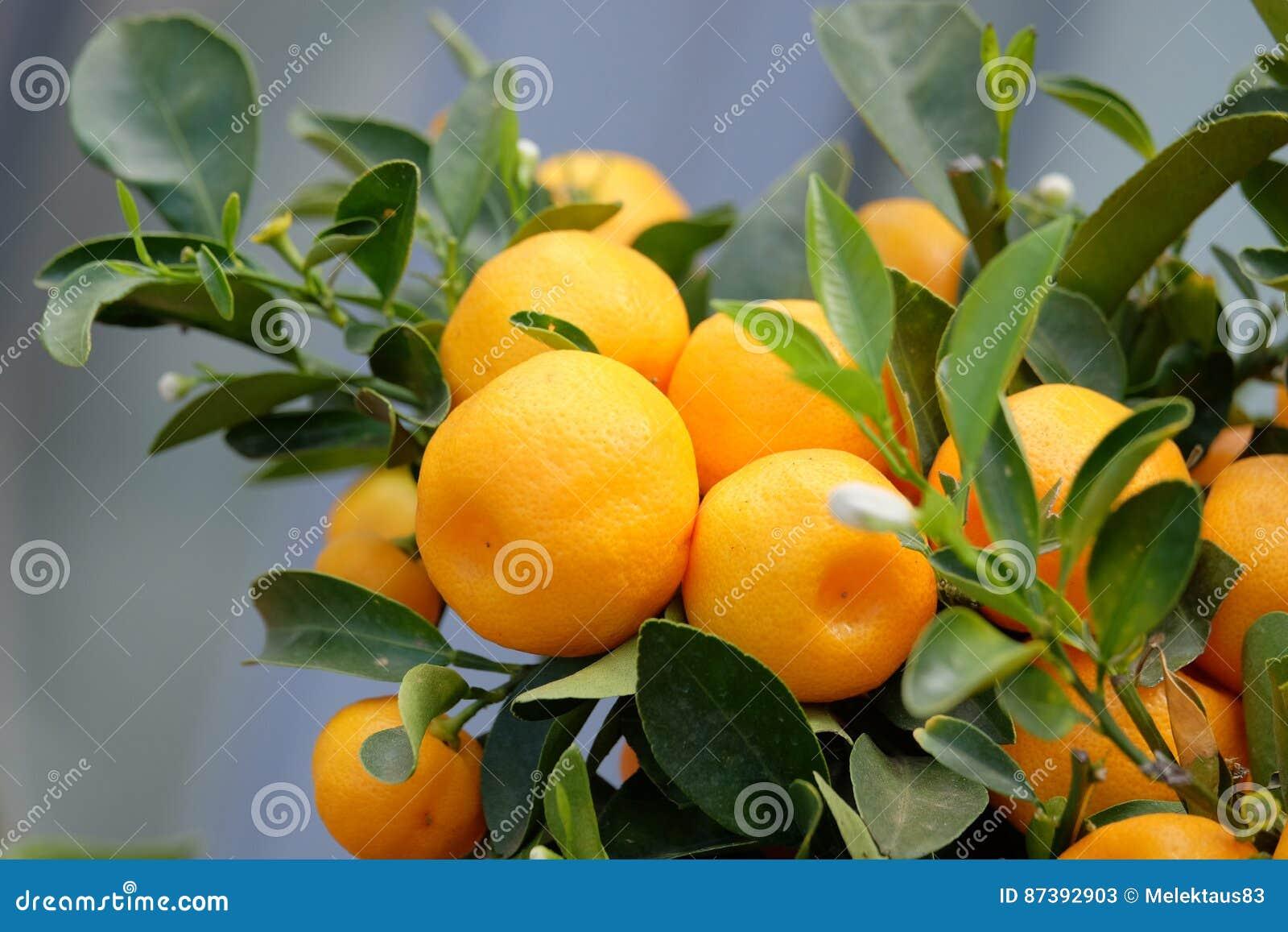 Owocowa mandarynka na gałąź