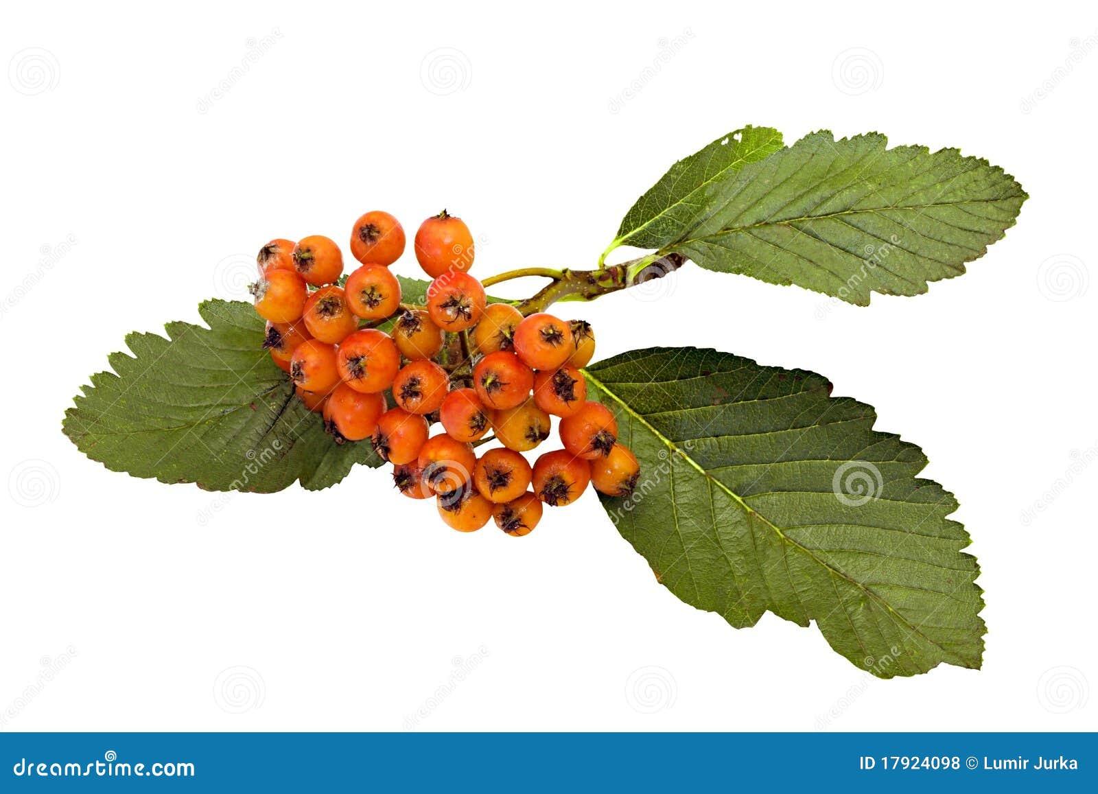 Owocowy błonia whitebeam