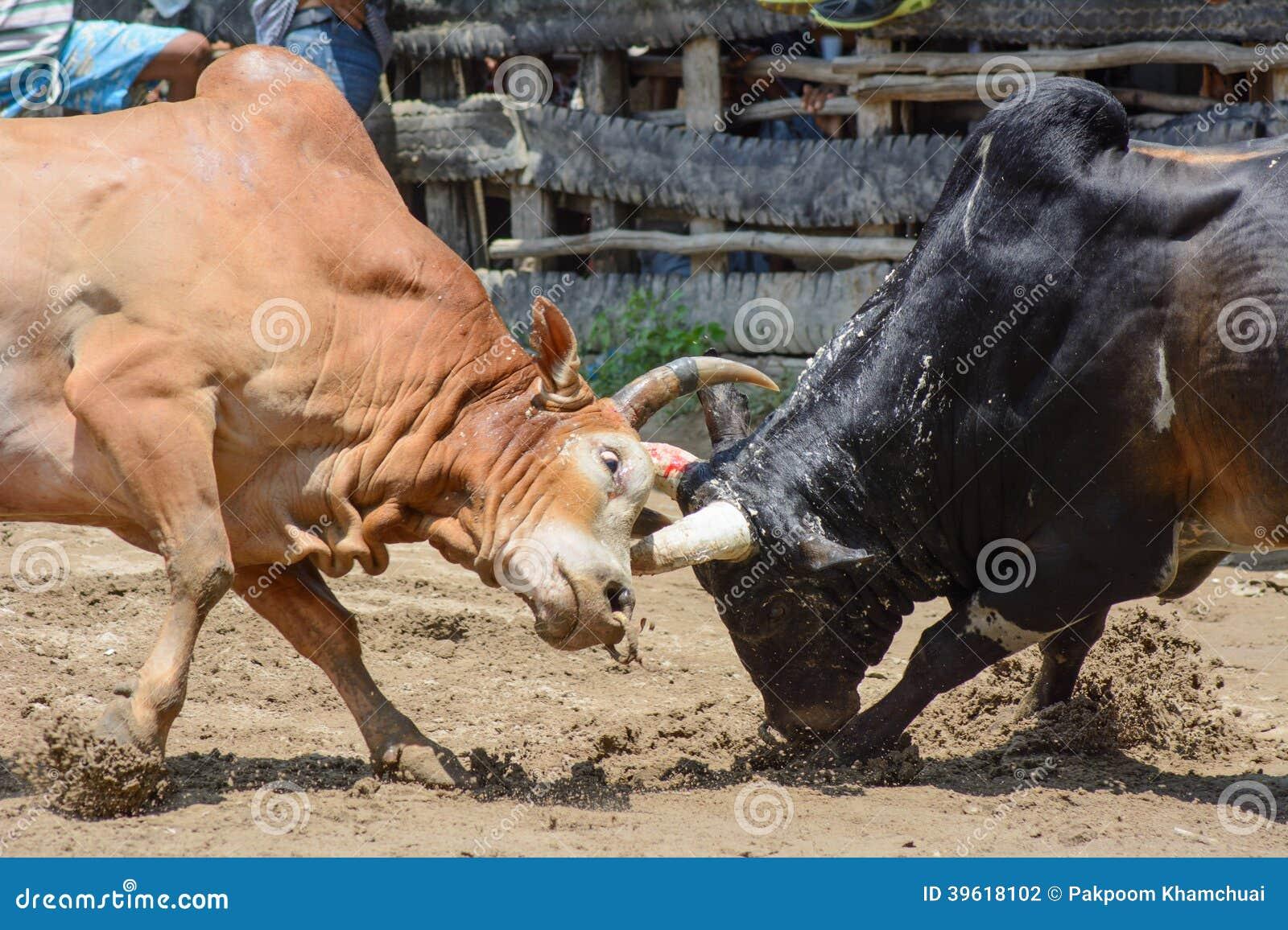 Ox Fight Stock Photo Image Of Nature Thammarat Horned