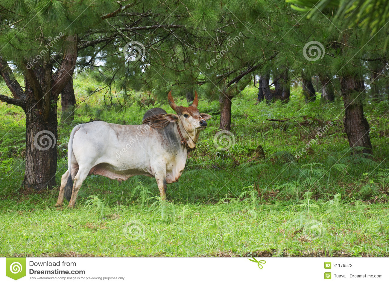 OX at thailand country