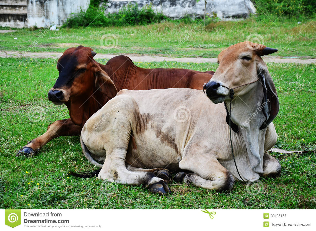 Cow Pulling Wagon : Ox at thailand stock image of rural outdoor farm