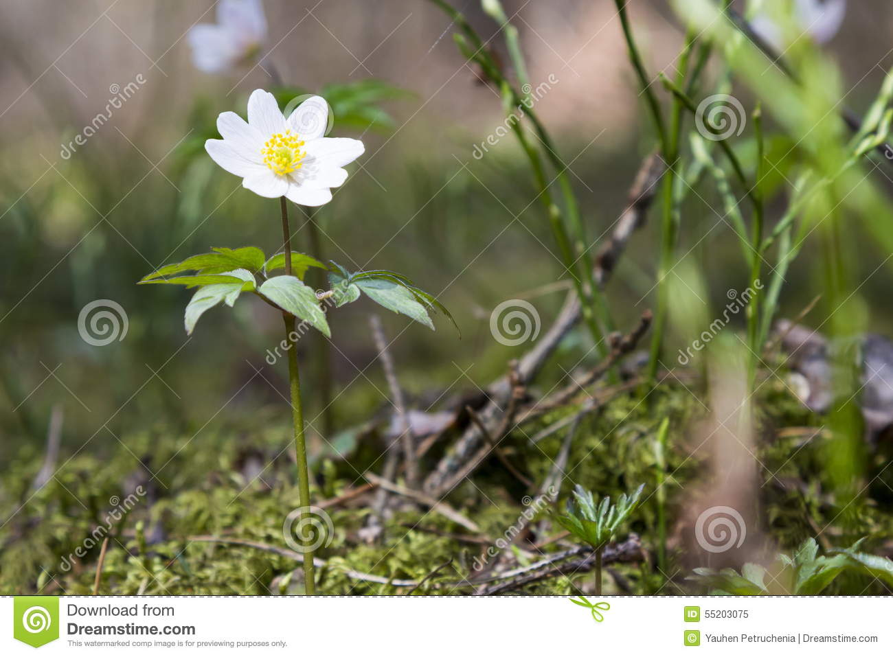 Oxalis acetosella flowers stock photo image 55203075 for Perennial wood