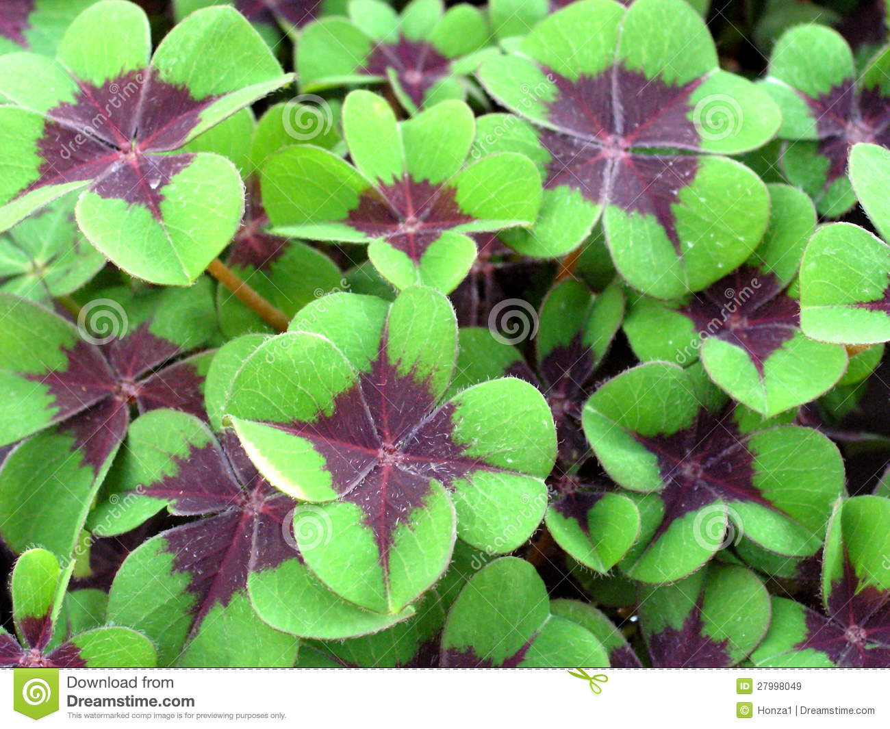 Oxalis Deppei Royalty Free Stock Images - Image: 27998049
