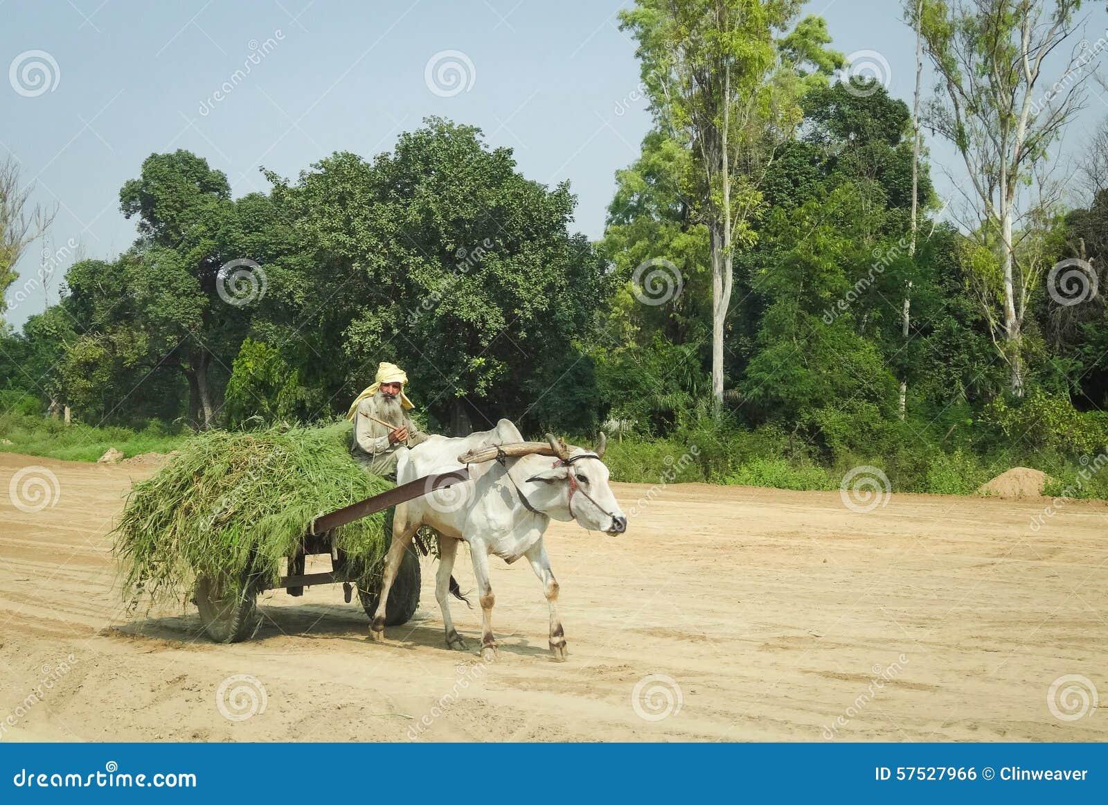 Oxcart dans l Inde