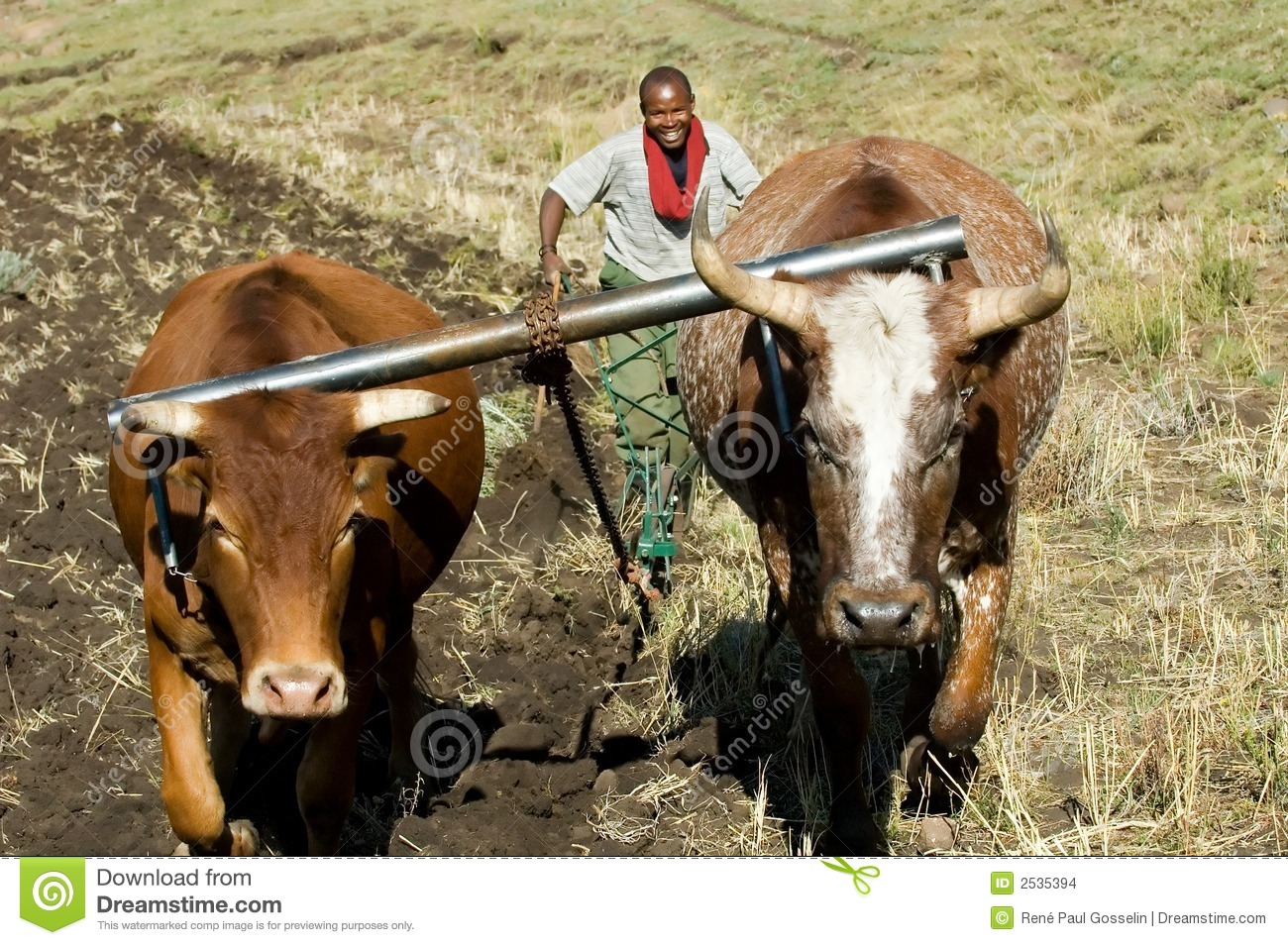 Oxen and plough