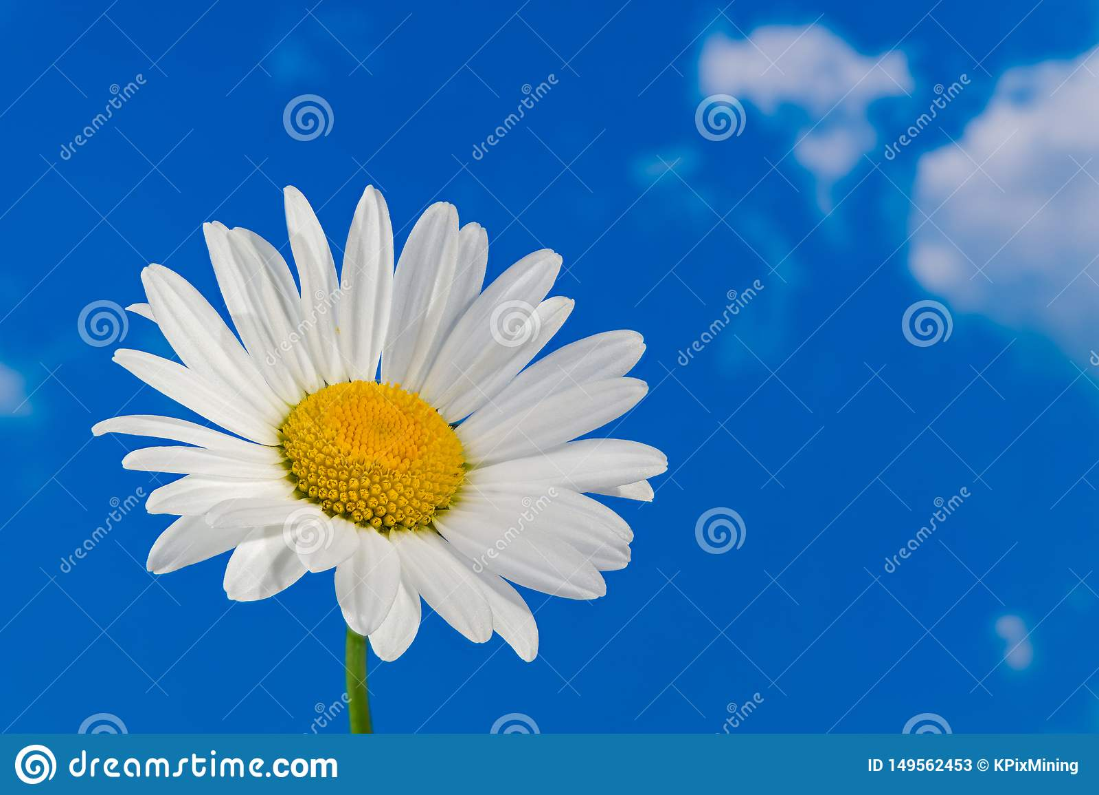 Oxeye κεφάλι λουλουδιών μαργαριτών Λεπτομέρεια της Marguerite Leucanthemum Argyranthemum