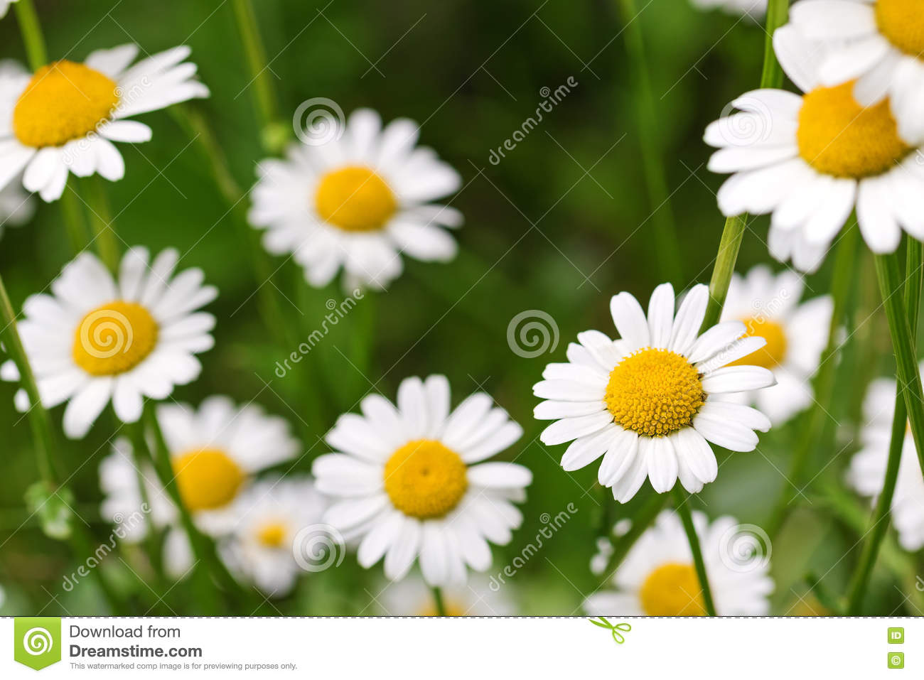 Oxeye Daisy Flower In Yellow And White Color In The Meadow Durin