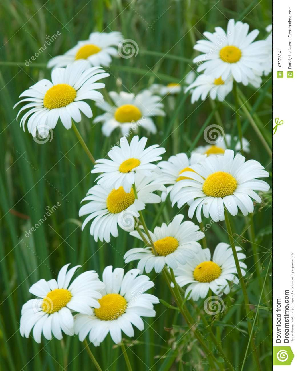 A bouquet of ox eye daisies bloom along side a country road stock download a bouquet of ox eye daisies bloom along side a country road stock izmirmasajfo