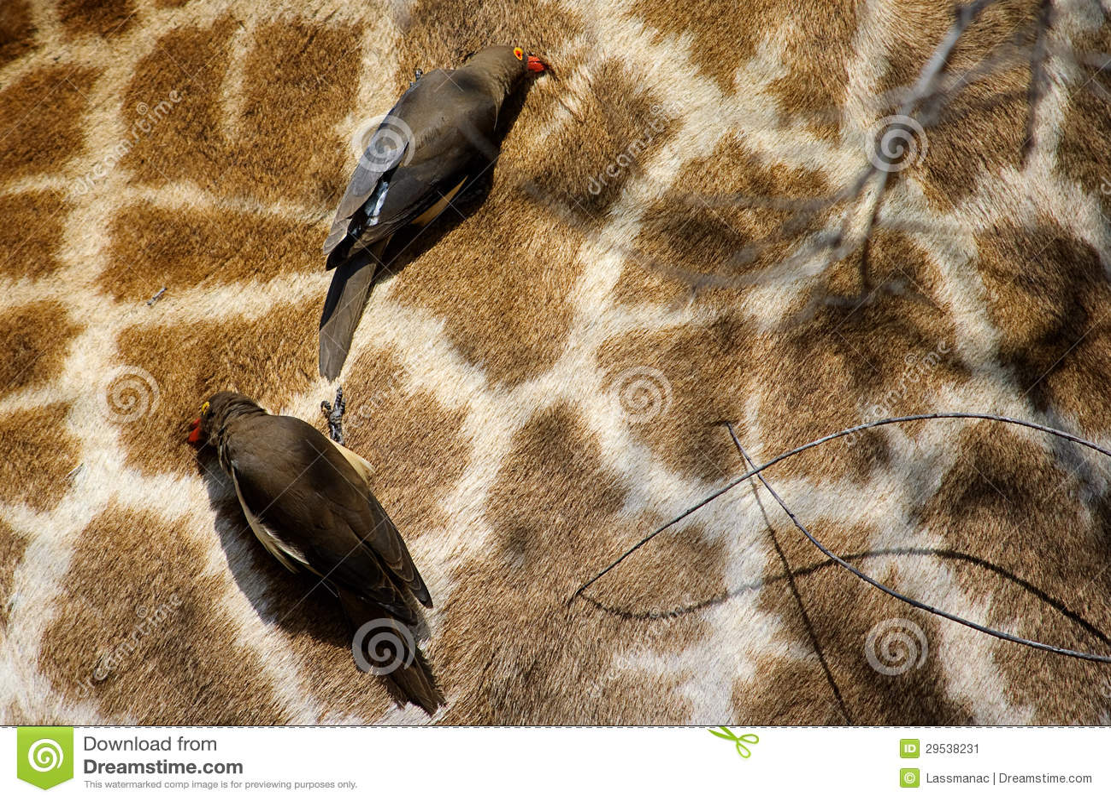 Oxpecker Vermelho-Faturado