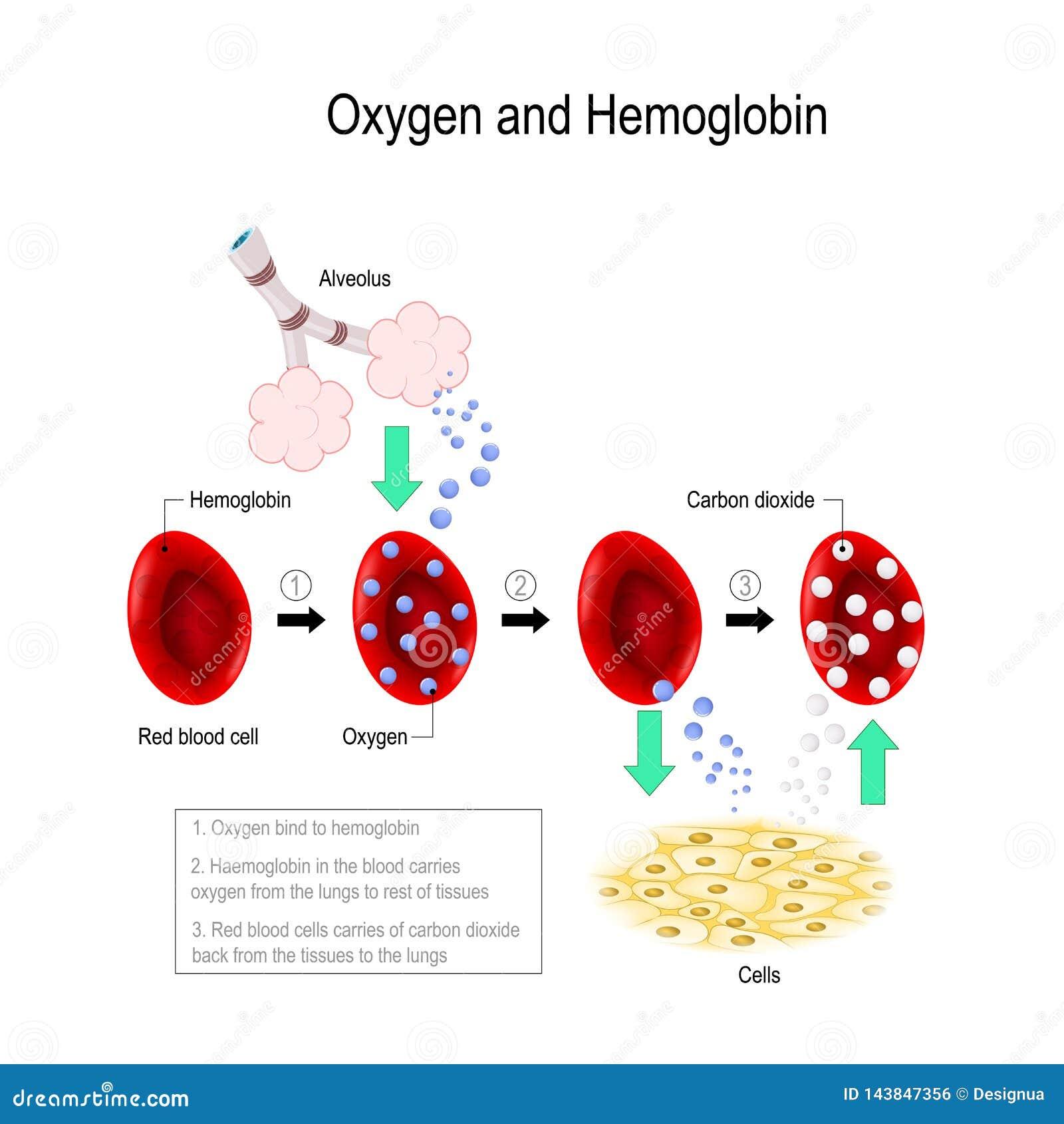 Oxygen And Hemoglobin Stock Vector. Illustration Of