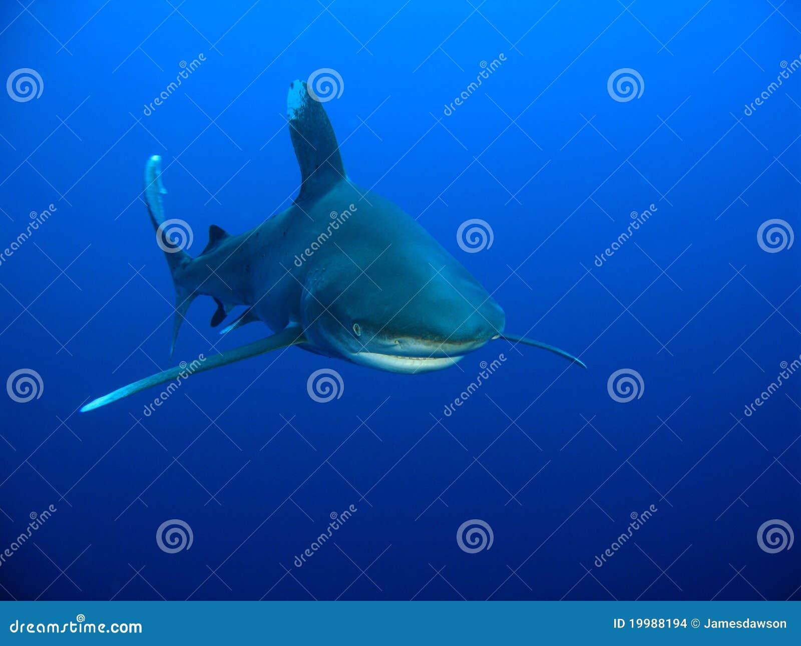 Ozeanischer Whitetip Haifisch (Carcharhinus longimanus)