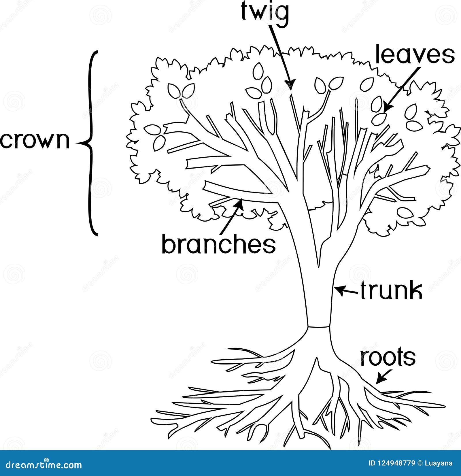 Página Que Colorea Partes De La Planta Morfología Del árbol