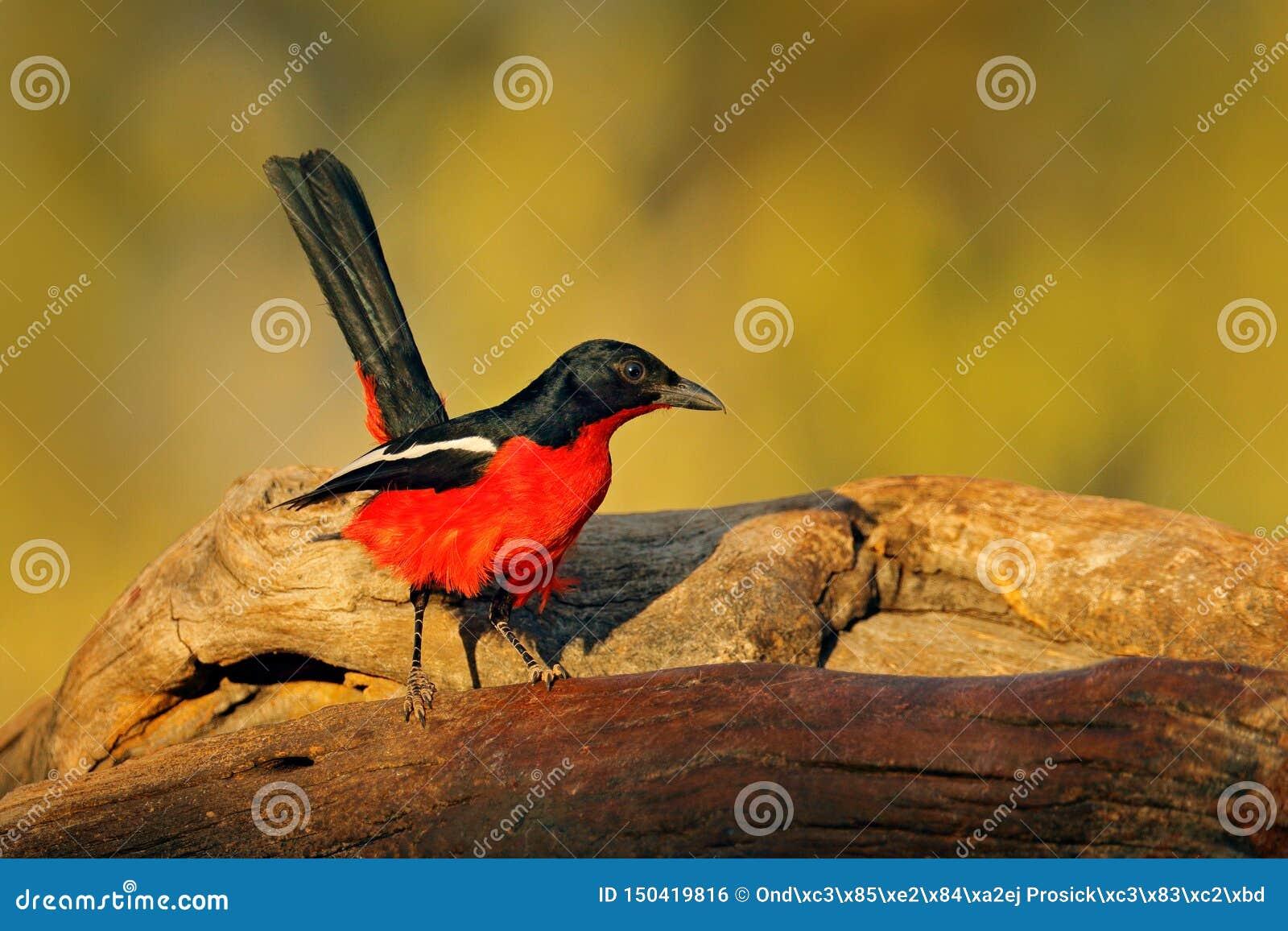 Pájaro alcaudón del gonolek, del atrococcineus de Laniarius, negro y rojo carmesís-breasted de Etosha, Namibia, África Comportami