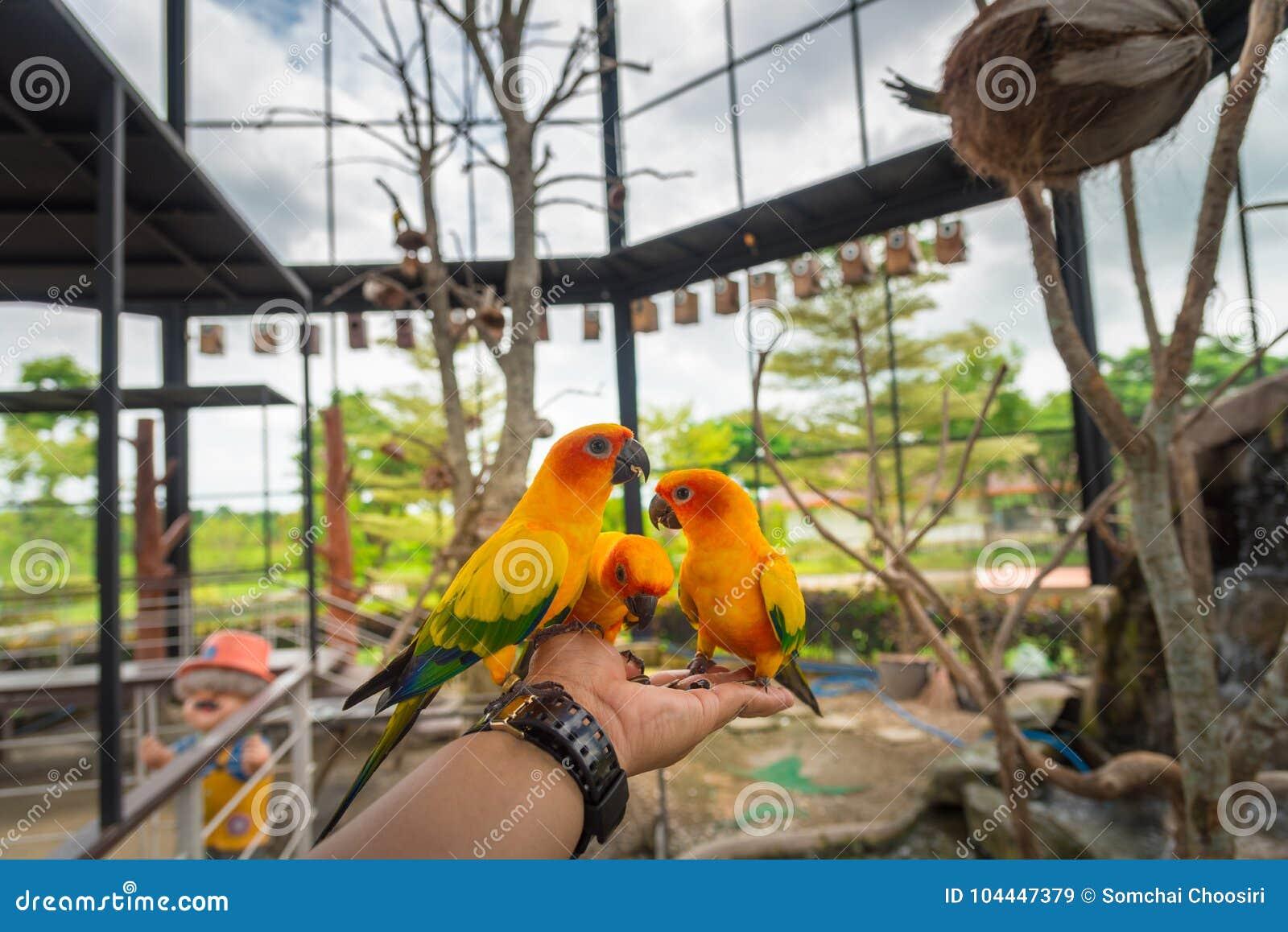 Pájaro amarillo del loro, conure del sol
