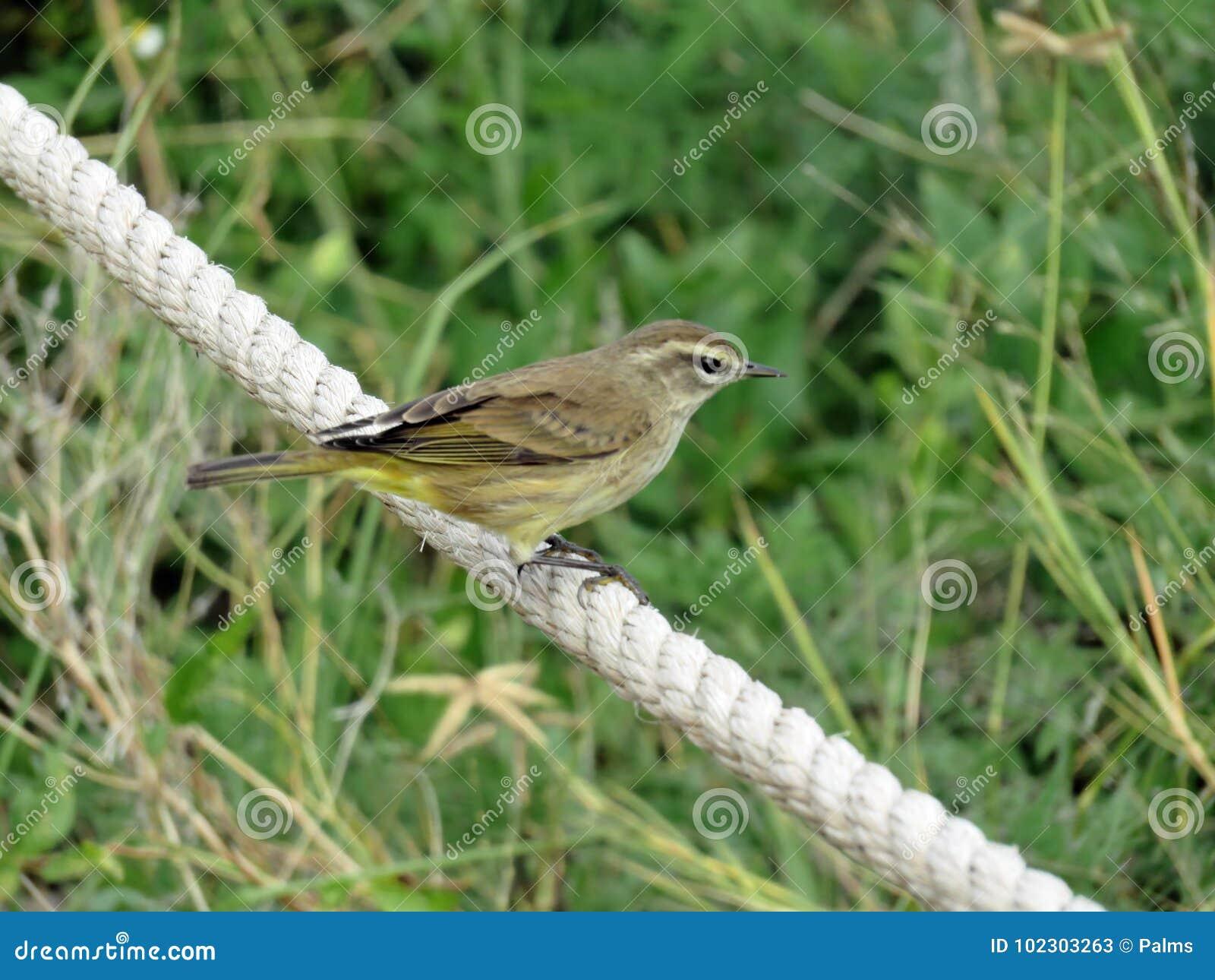 Pájaro amarillo en el sudoeste la Florida