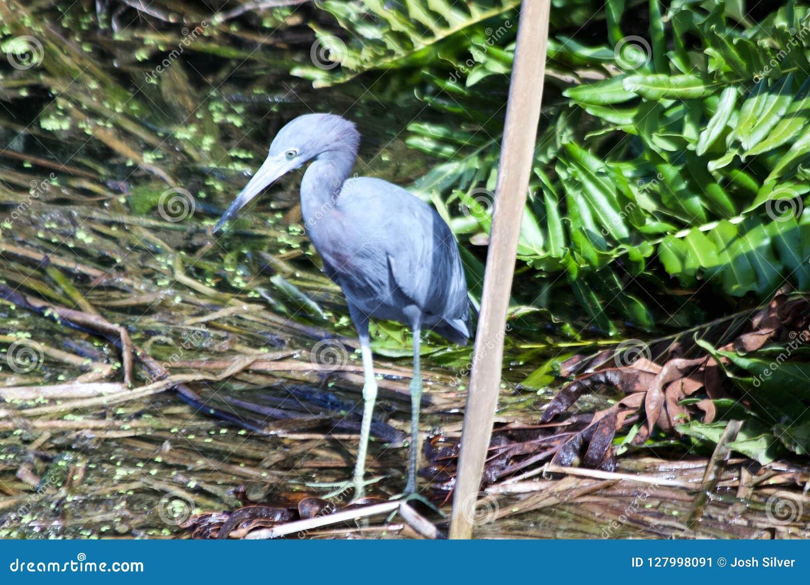 Pájaro azul que se coloca en el agua