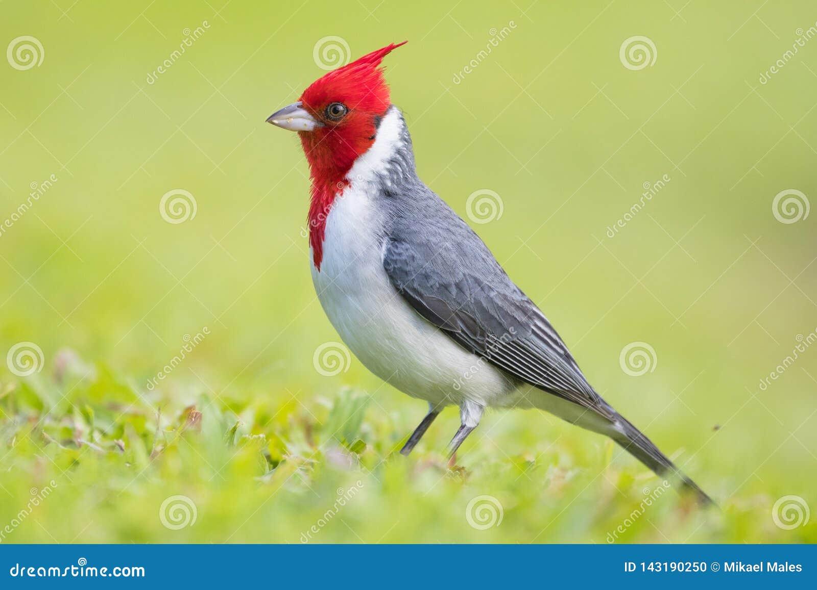 Pájaro cardinal con cresta rojo hermoso en Maui Hawaii