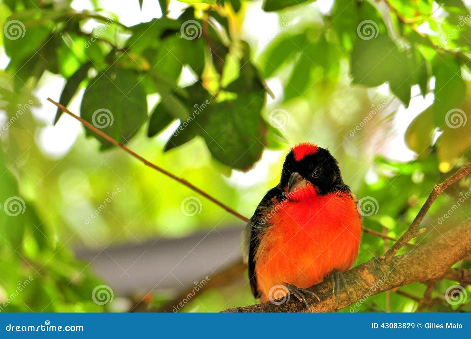 Pájaro carmesí-breasted del pinzón en pajarera