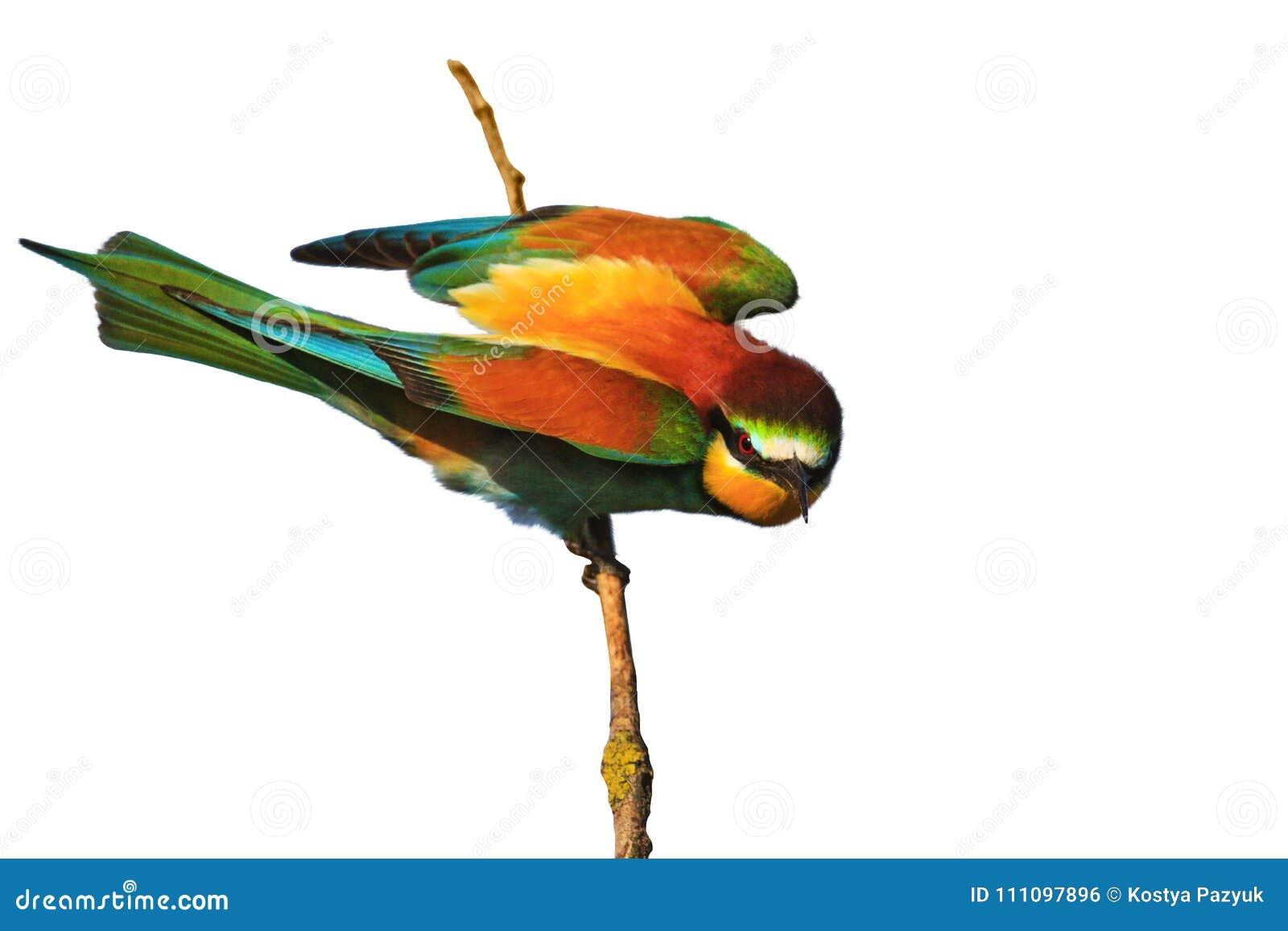 Pájaro Azul Enojado Stock Images - Download 588 Photos