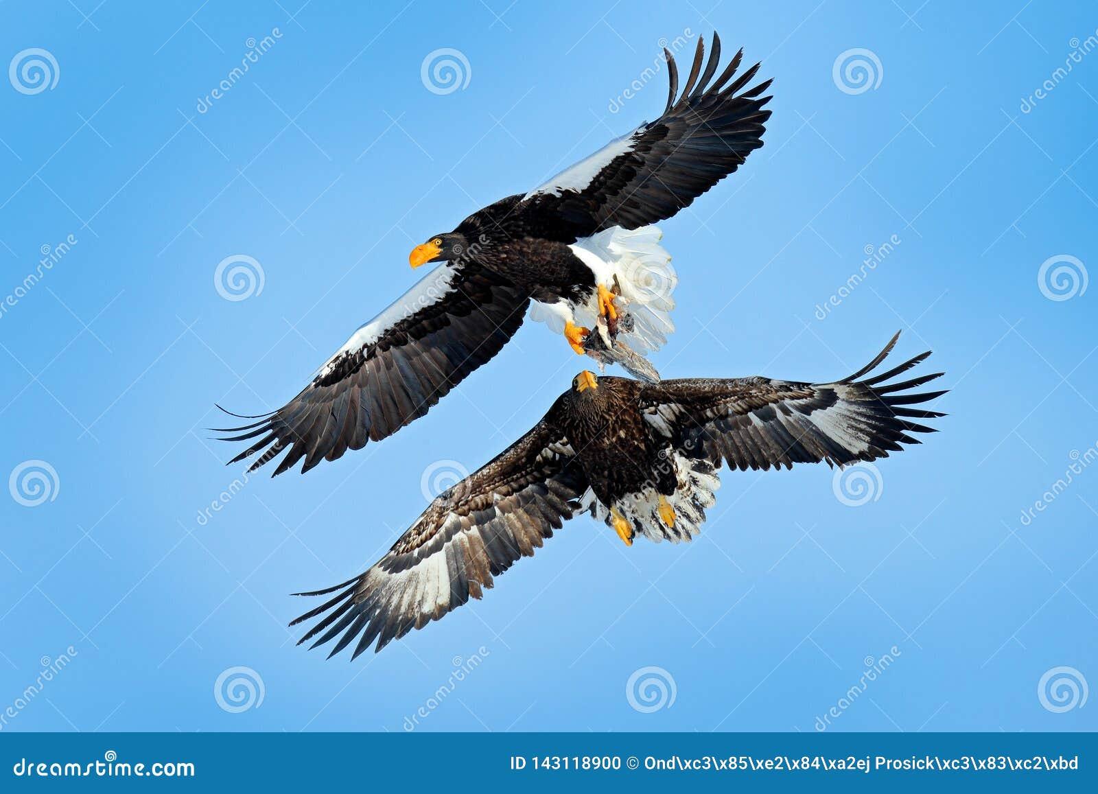 Pájaro con la captura de pescados Lucha de Eagles en el cielo azul Escena del comportamiento de la acción de la fauna de la natur