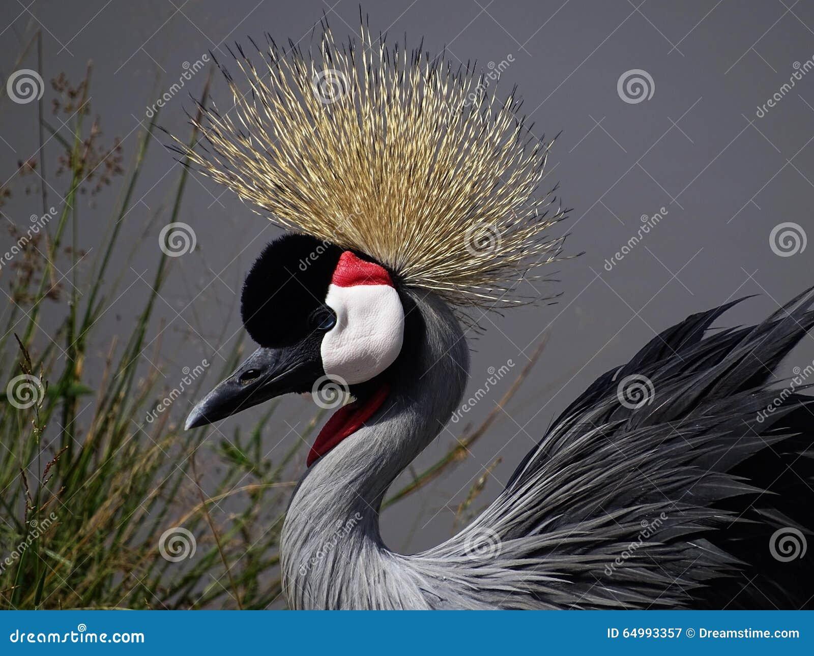 Pájaro coronado de la grúa