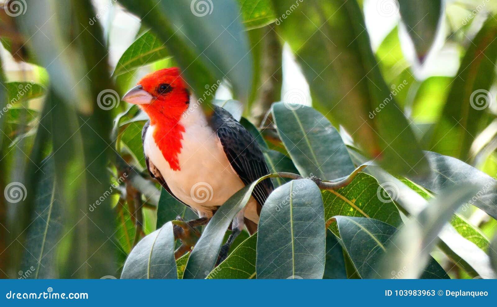 Pájaro de Paroare en la selva tropical boliviana, Suramérica