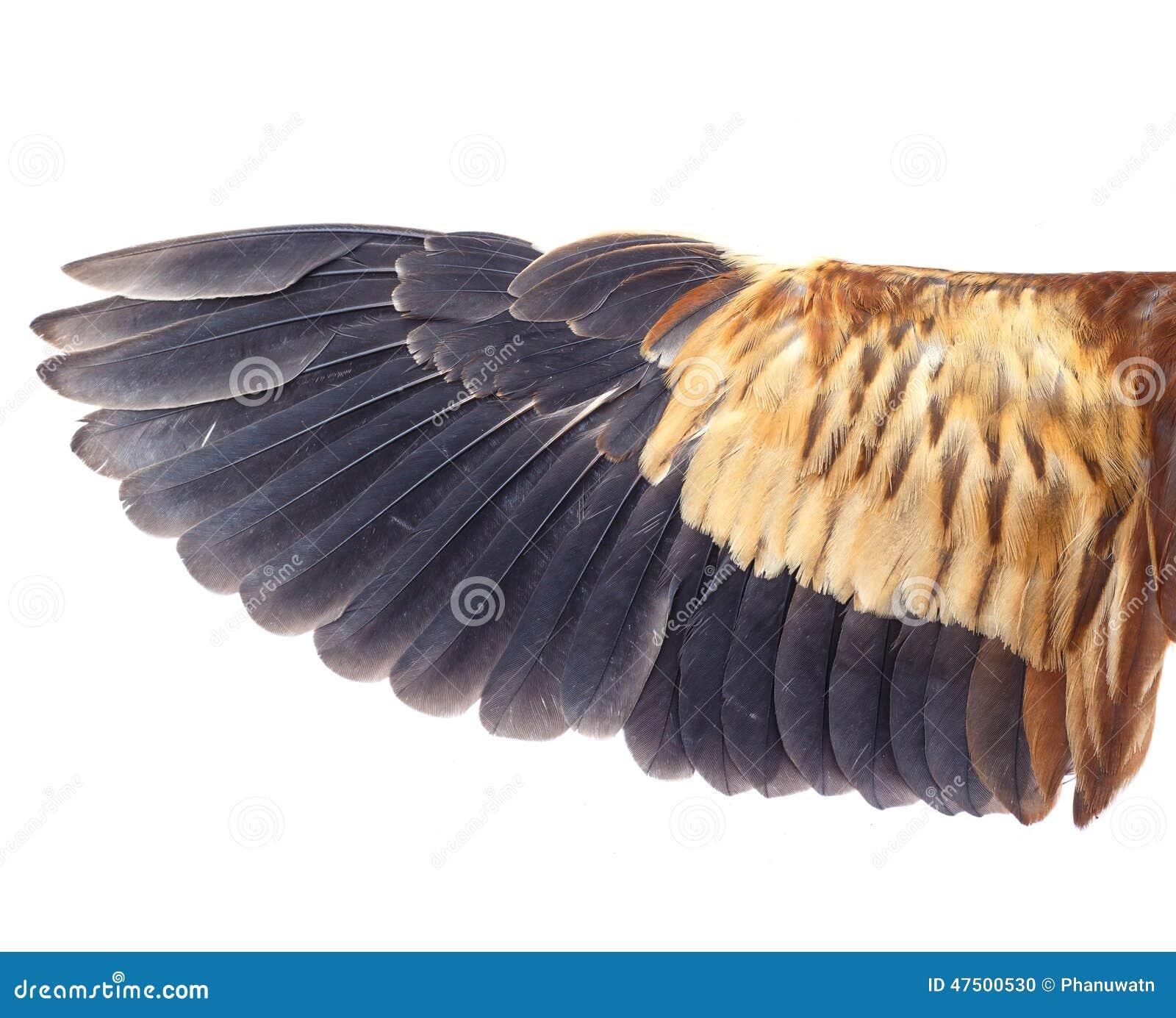 Único Pájaro Diagrama De La Anatomía Del Ala Friso - Imágenes de ...