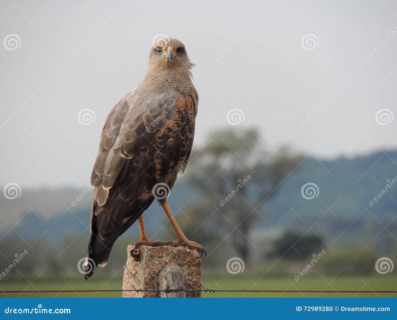 Pájaro del brasileño de la presa