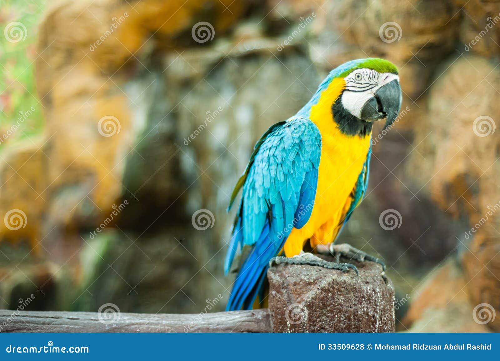 Pájaro del Macaw